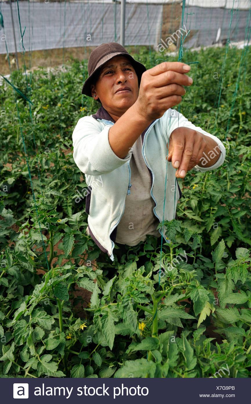 Agricultor cultivando plantas de tomate (Solanum lycopersicum) en invernadero, comunidad de Mariano Acosta, Cantón Pimampiro, Imagen De Stock