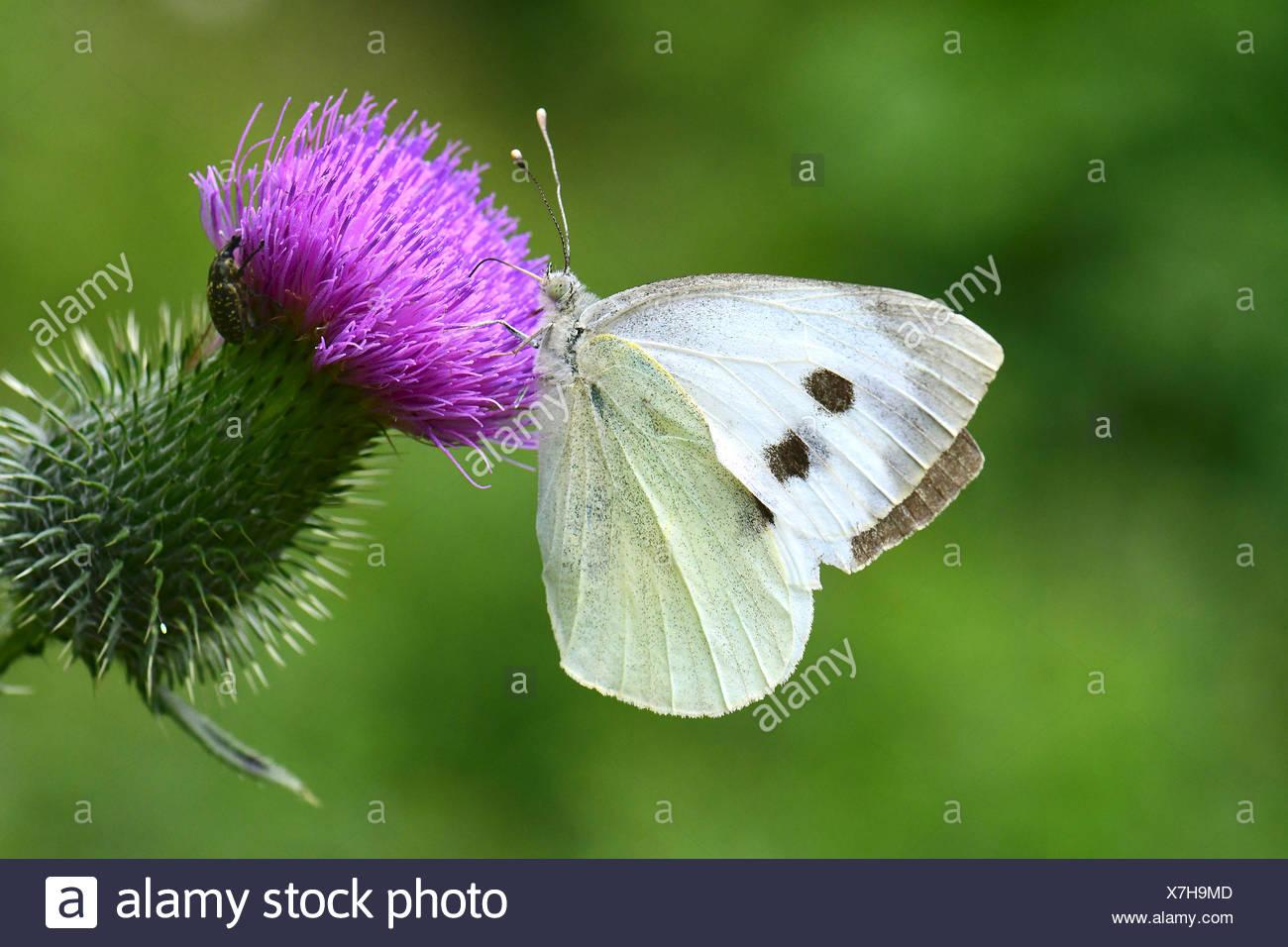 (Pieris rapae blanco grande), chupando el néctar de la floración (Cardo Cirsium sp.). Foto de stock