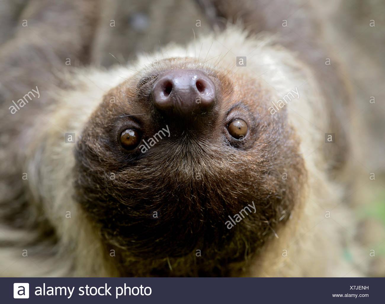 Unau / dos dedos cada sloth (Choloepus didactylus) retrato Guayana Francesa Foto de stock