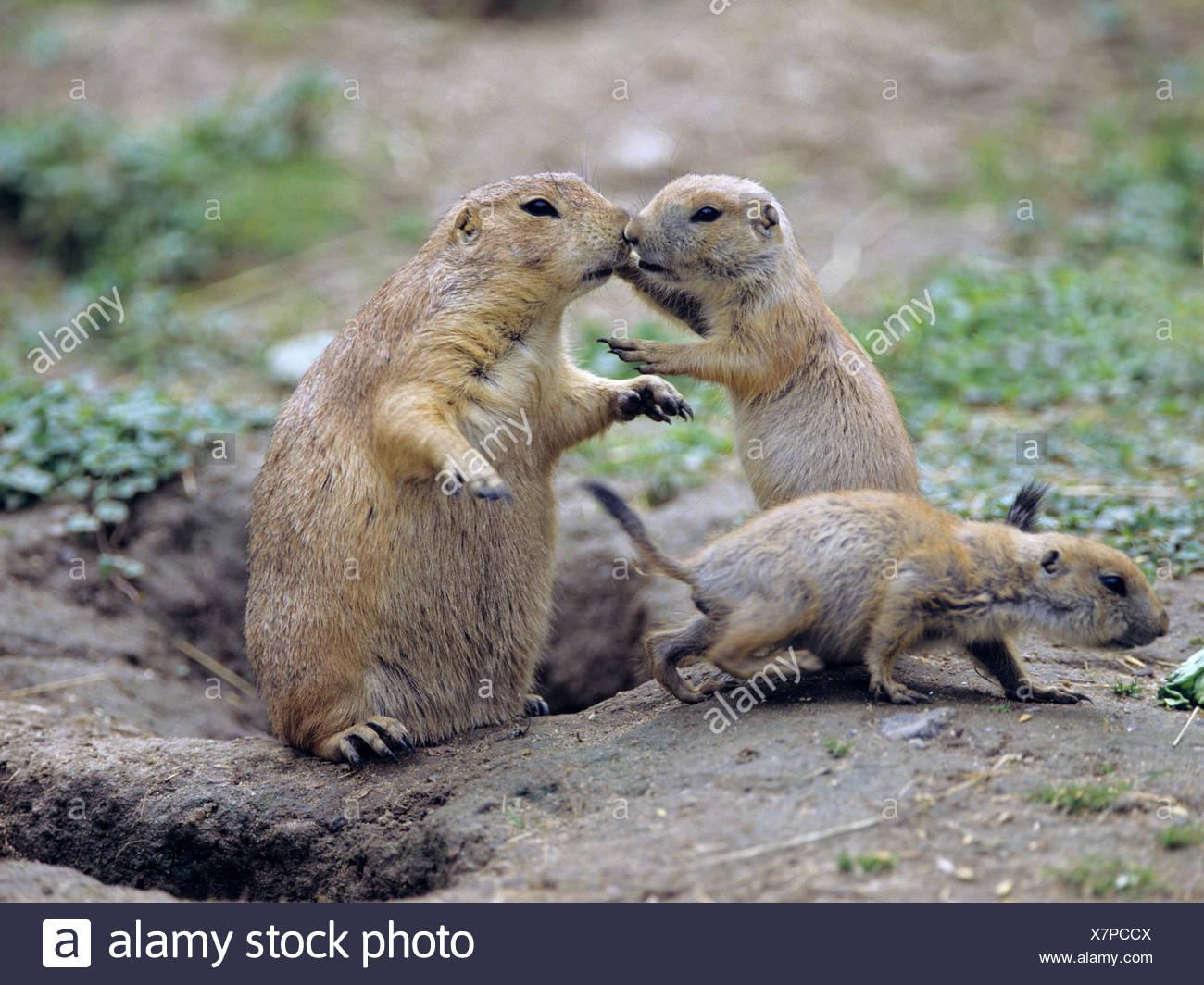 Black-tailed Prairie Dog, llanuras perritos de la pradera (Cynomys ludovicianus), con animales jóvenes en la den Imagen De Stock