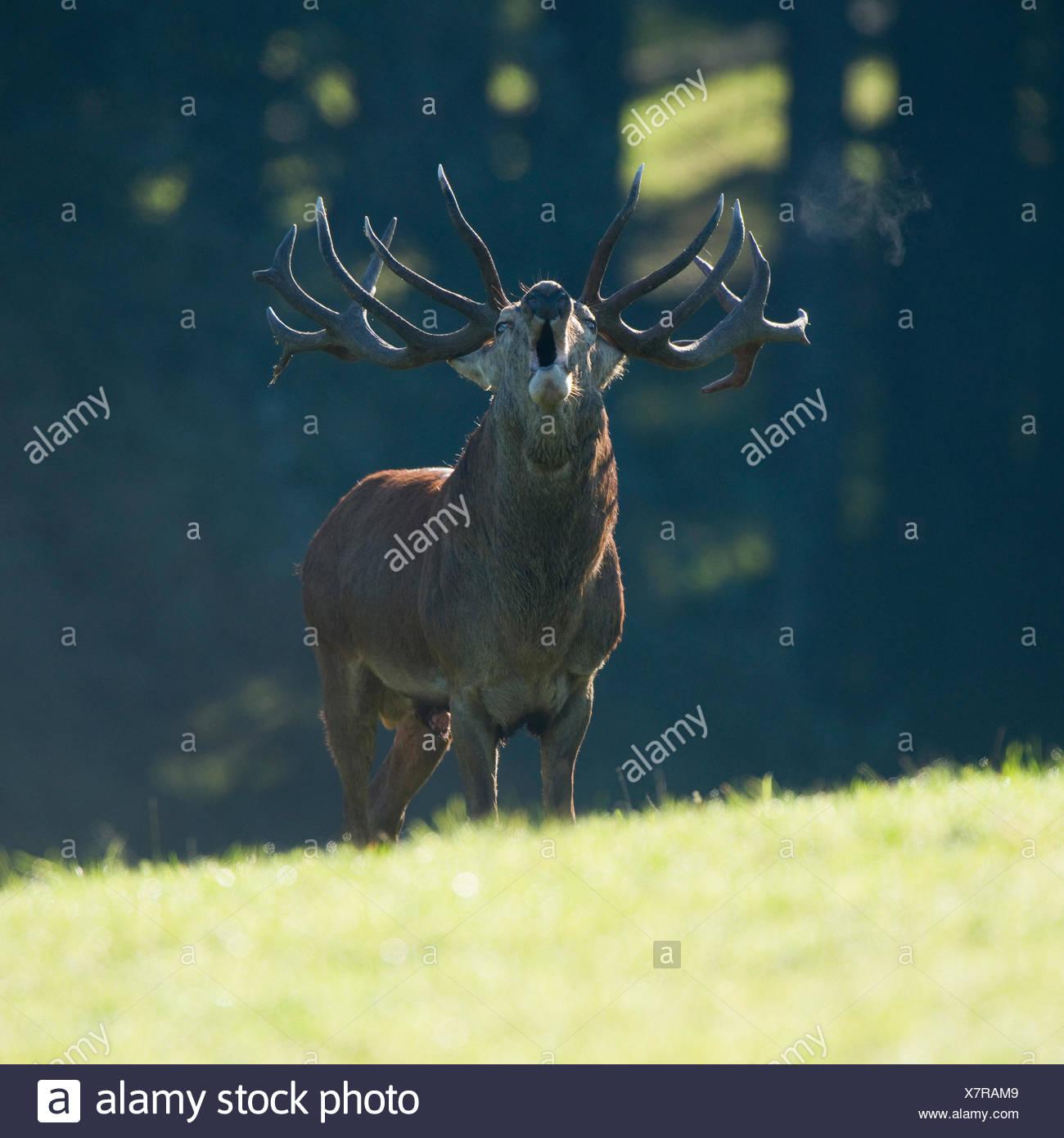 Ciervo rojo (Cervus bugRMing eRMaphus), en la rutina, cautiva, Sajonia, Alemania RMower Foto de stock