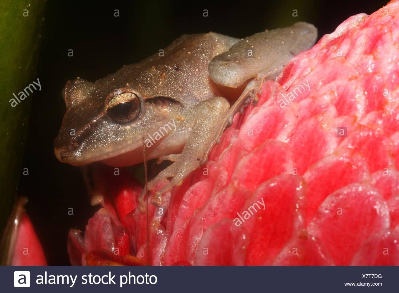 Isla Bonita robber frog,Craugastor crassidigitus. Imagen De Stock