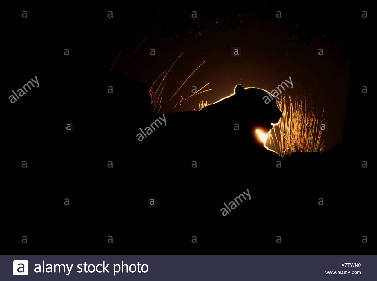 Mountain Lion silueta, Montana Imagen De Stock
