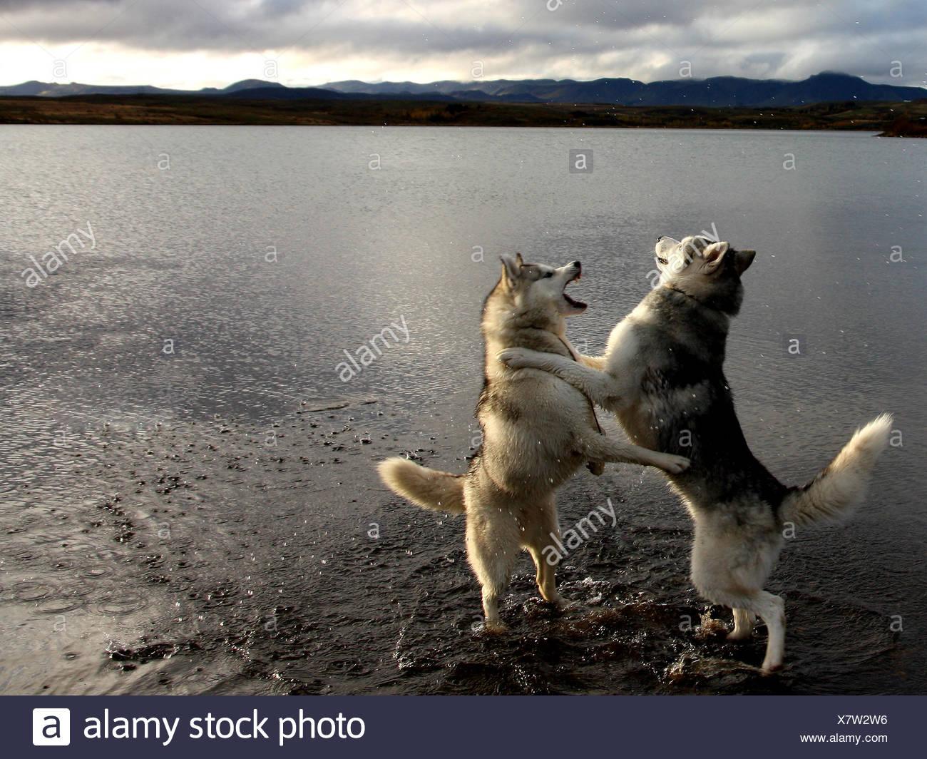 Islandia, Hafravatn, Husky perros jugando al lado de agua Foto de stock