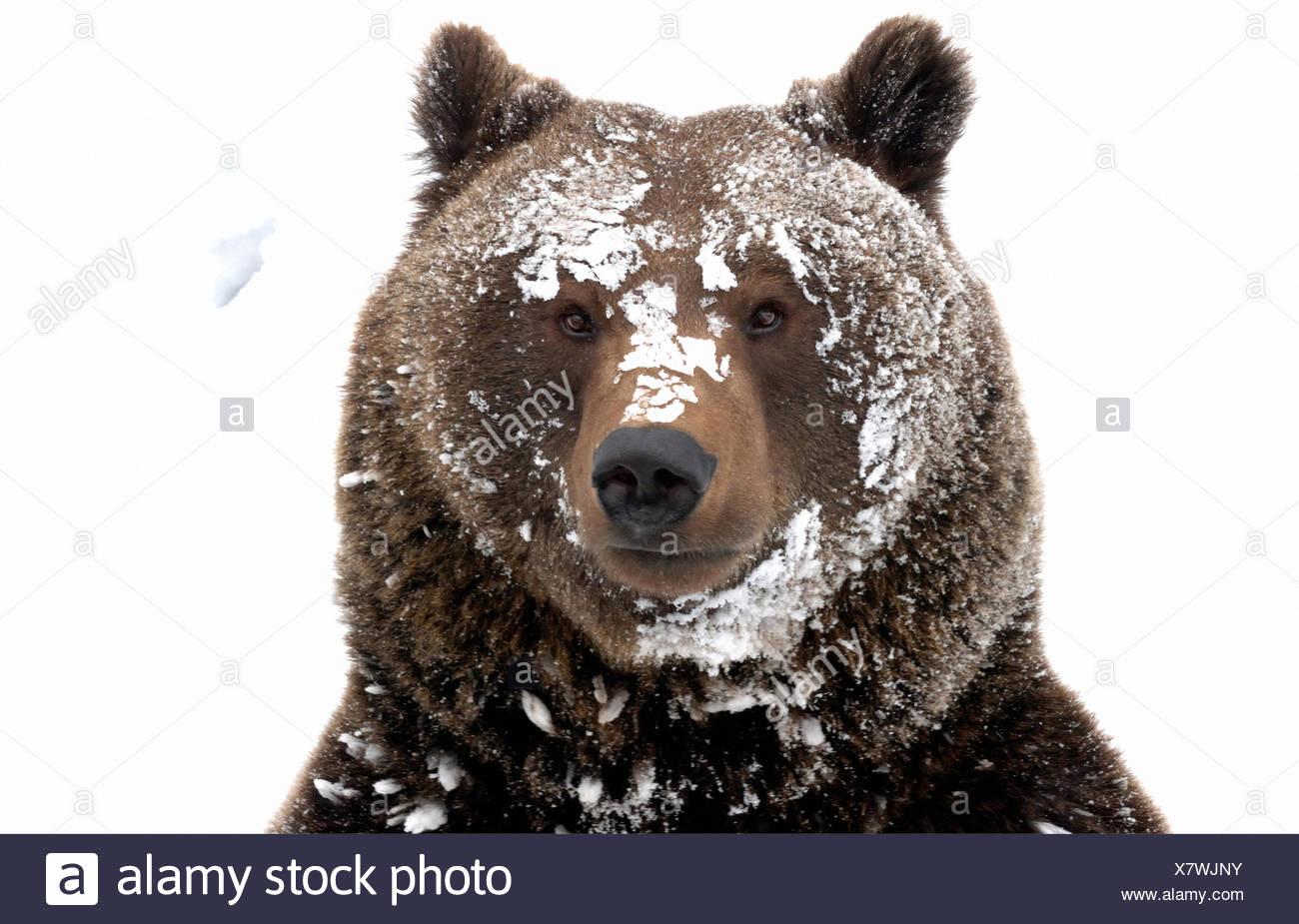 Oso Pardo oso Europeo Europeo depredador oso pardo Ursus arctos oso Ursus nieve del invierno invierno llevar furtivamente animal animales, Imagen De Stock
