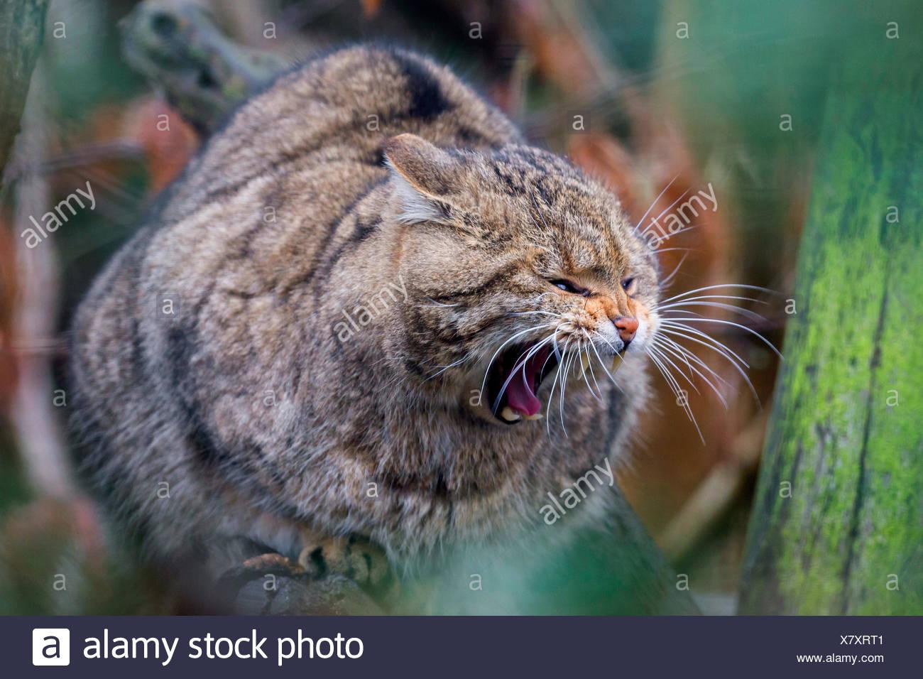 Gato Montés europeo, bosque de gato montés (Felis silvestris silvestris), se asienta sobre un árbol bostezando Imagen De Stock