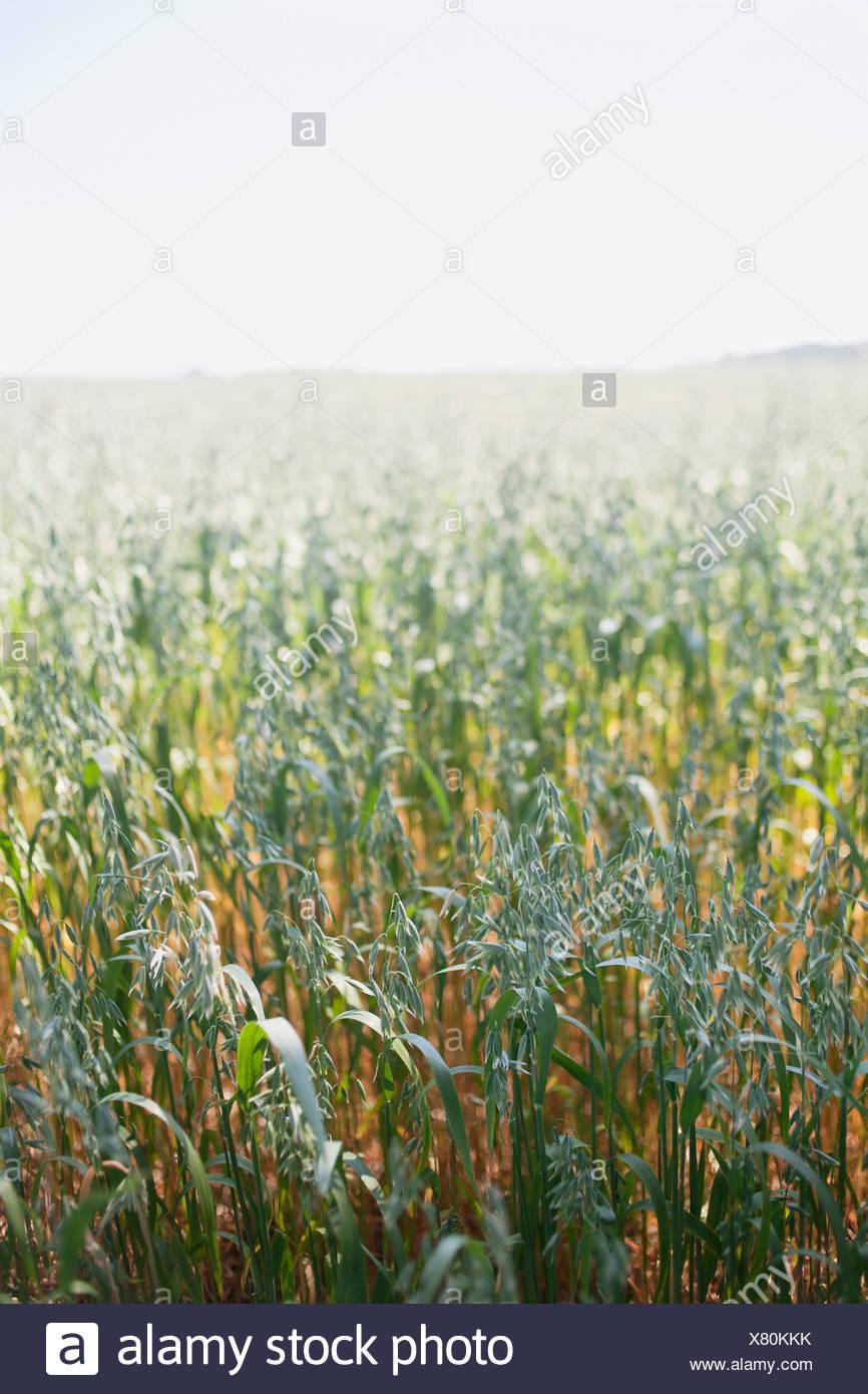 Campo de trigo Imagen De Stock