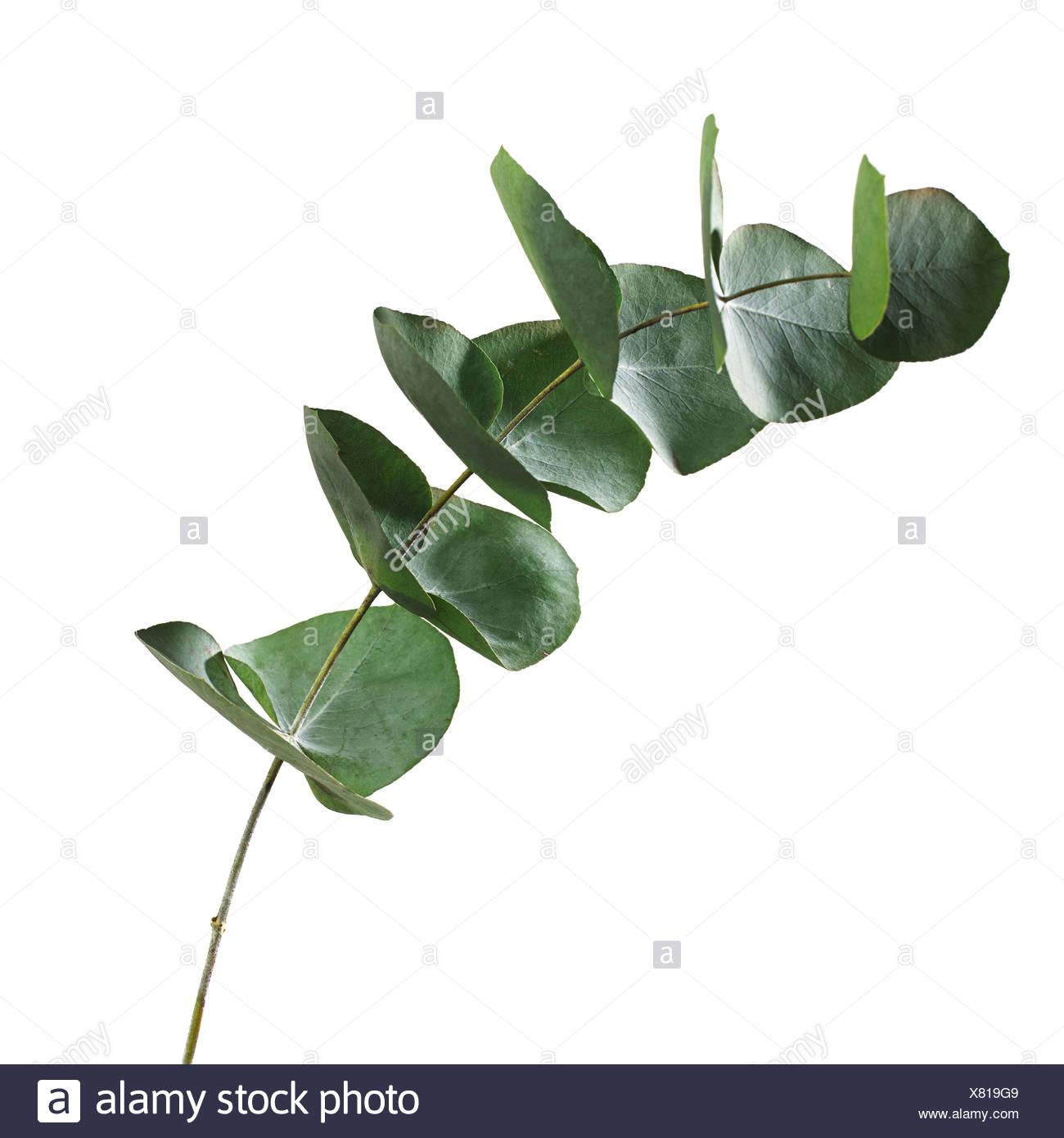Hojas de Eucalyptus sp Imagen De Stock