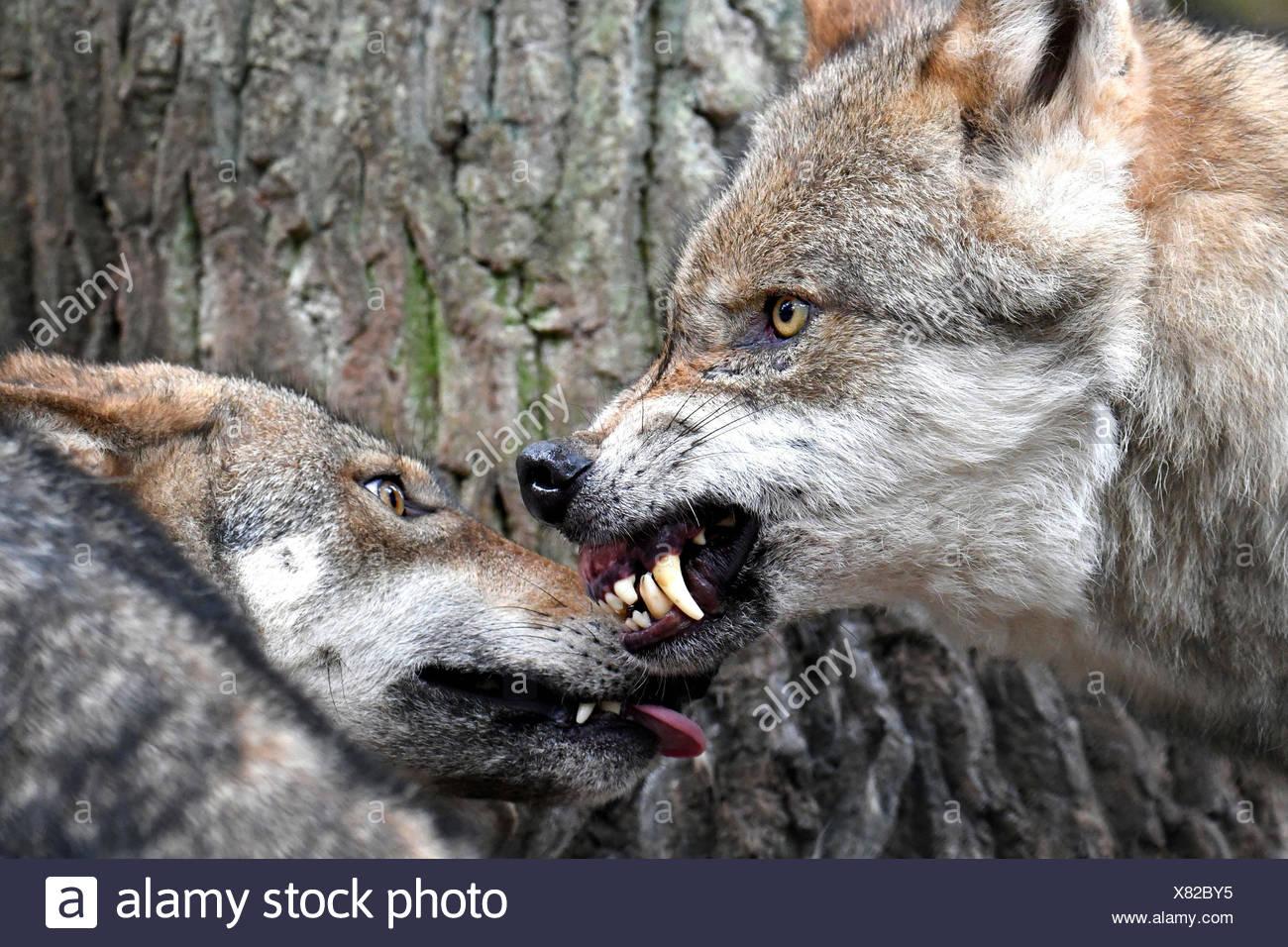 Lobos, canis lupus, gruñidos, dientes, gesto de amenaza Imagen De Stock