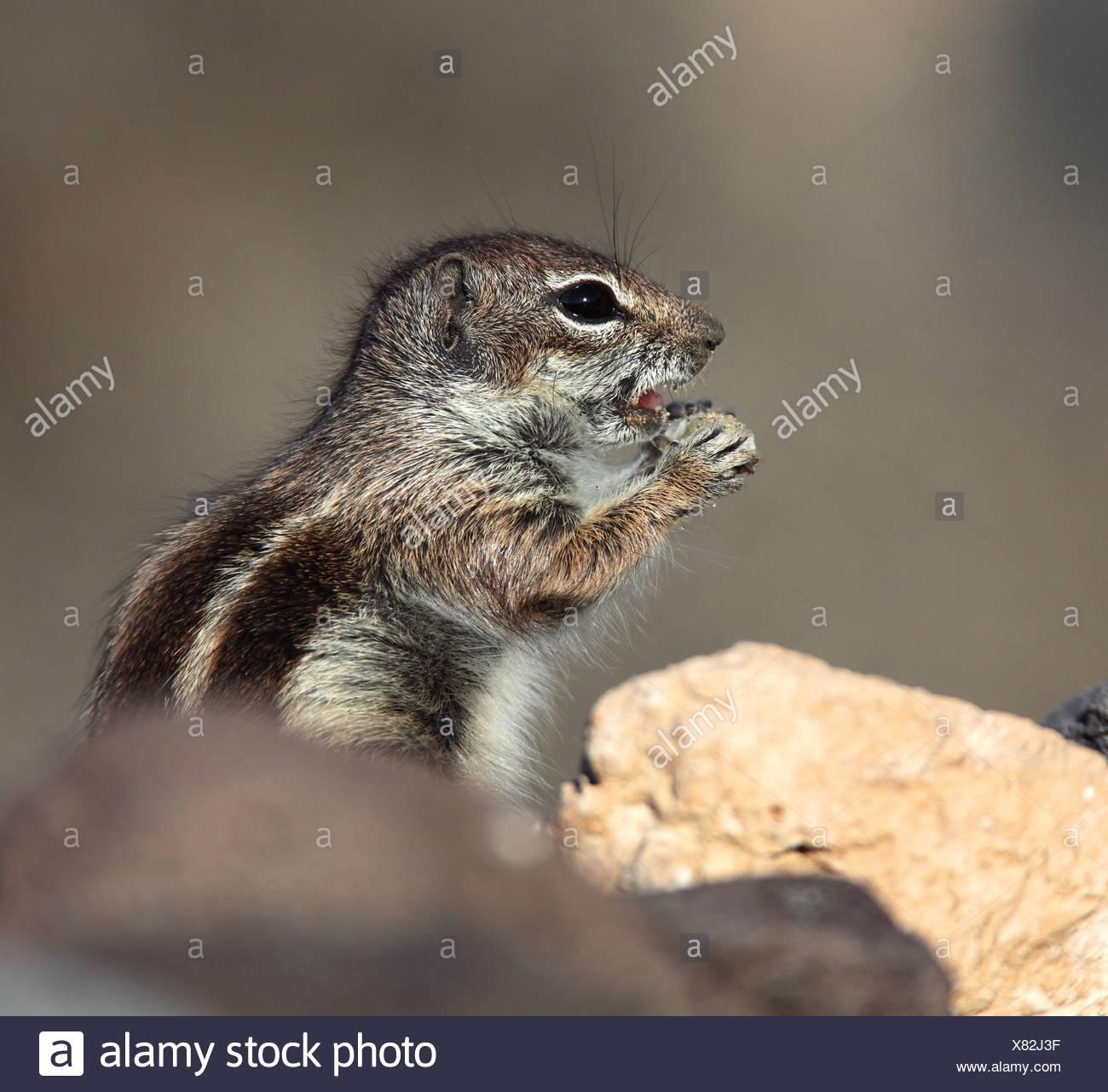 Suslik barbary, del norte de África suslik (Atlantoxerus getulus), situándose entre las piedras de alimentación, Fuerteventura, Islas Canarias Imagen De Stock