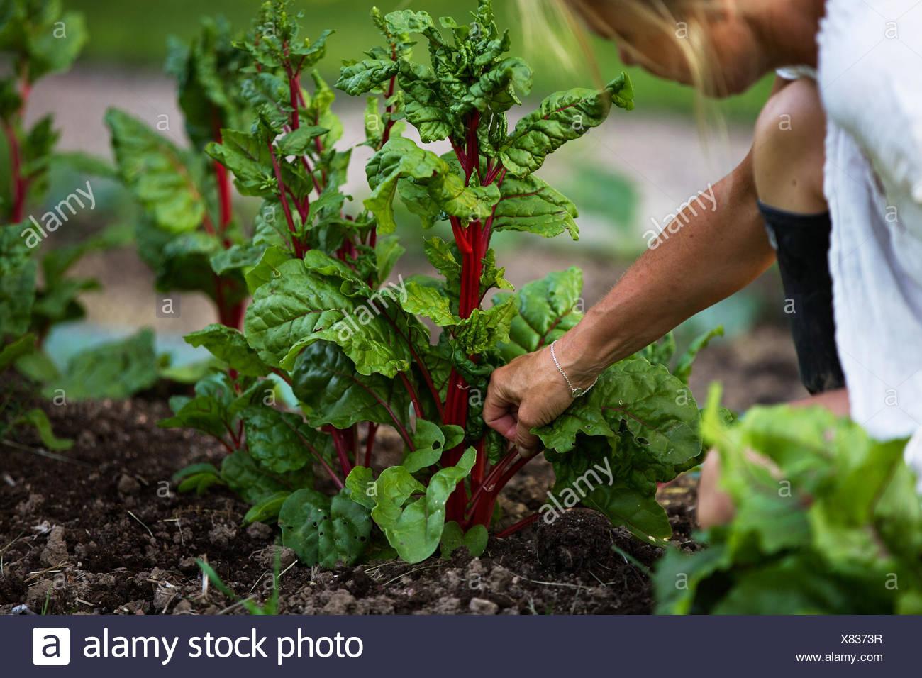 Suecia, Ostergotland, mujer madura, cosechando vegetales Foto de stock