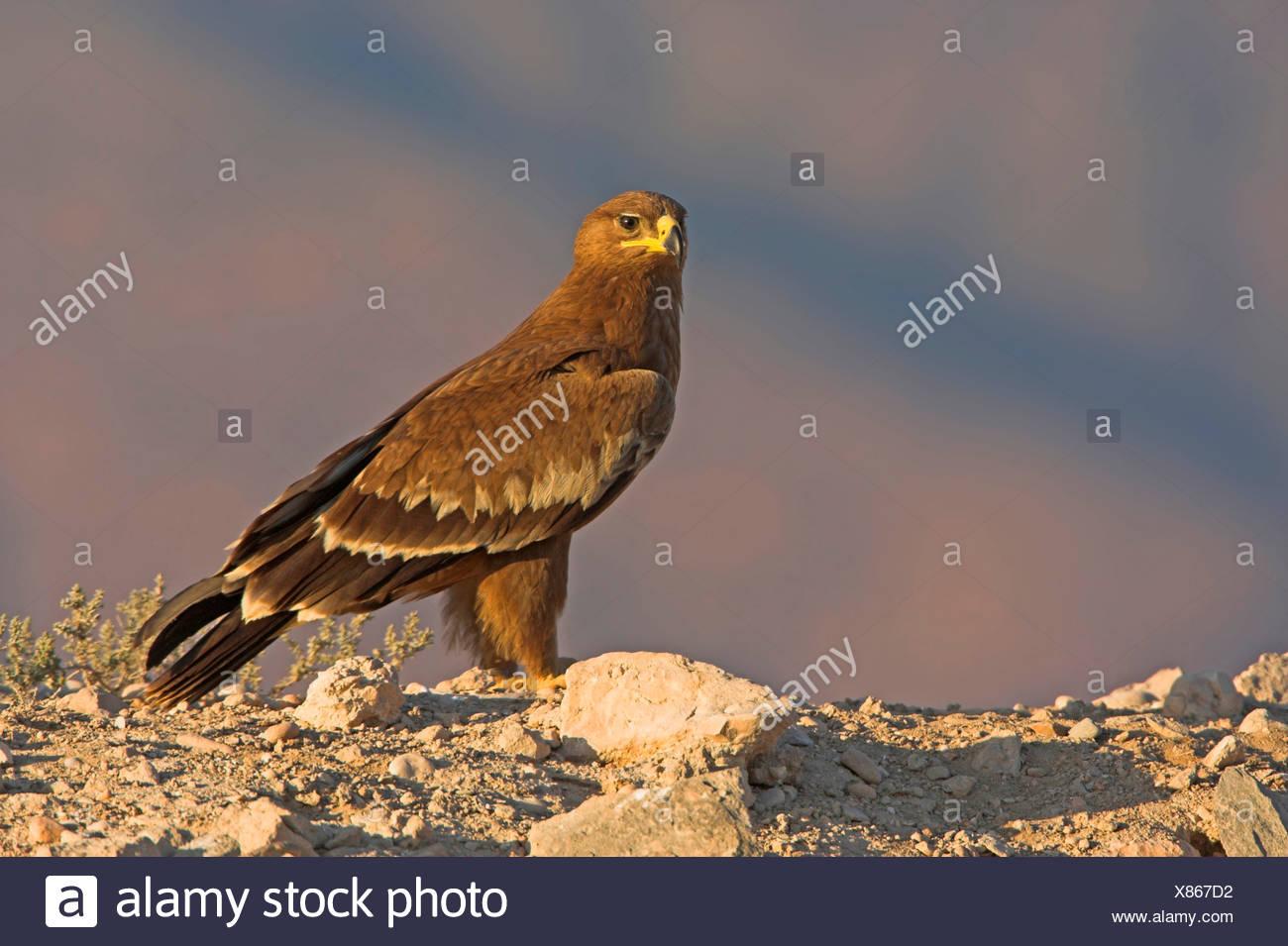 El águila esteparia (Aquila nipalensis nipalensis, Aquila rapax), sentado en el suelo pedregoso suelo, Omán Imagen De Stock