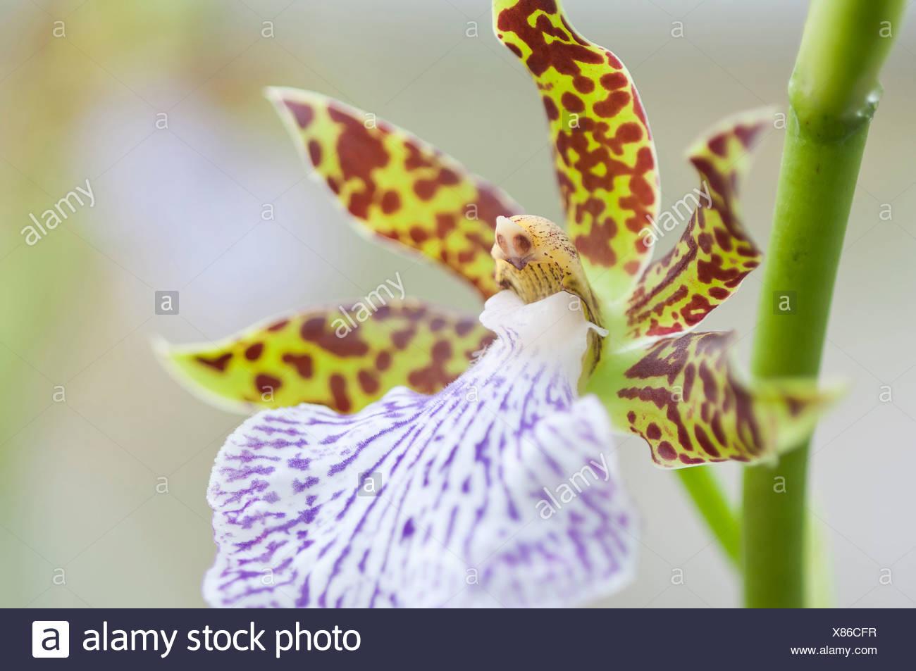 5364a7822 Flor de  azul celeste  Zygopetalum orquídea con llamativos estampados  moteados pétalos y los labios en colores contrastantes de rojo y verde