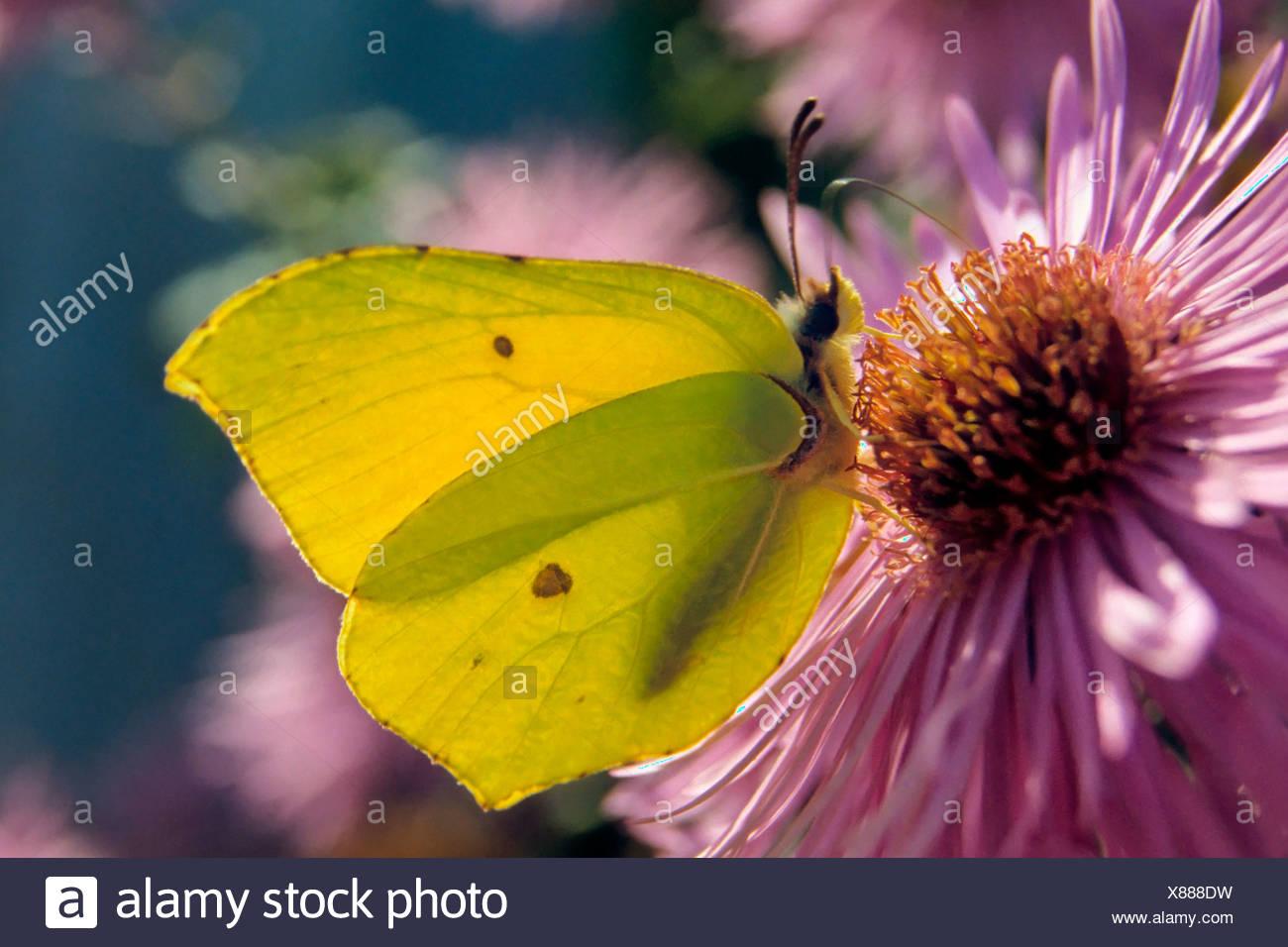 Brimstone (Gonepteryx rhamni macho) consume el néctar de una flor Foto de stock