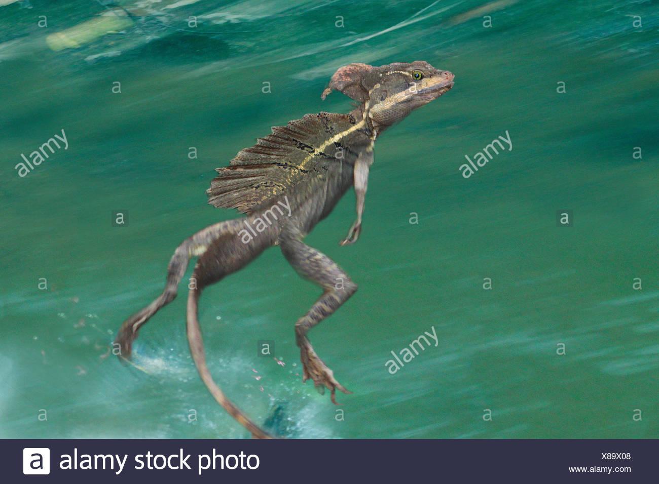 Brown basilisk Basilisk, rayas, rayas amarillas, Jesucristo lagarto Basilisk (Basiliscus vittatus), corriendo sobre el agua Foto de stock