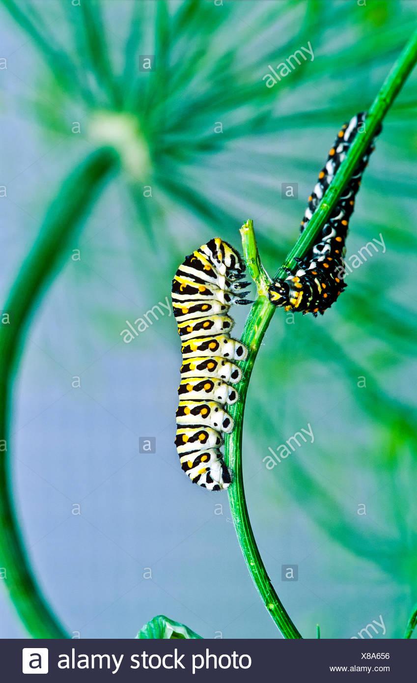 Este Especie Papilio polyxenes (larva), quinto estadio, alimentación Foto de stock