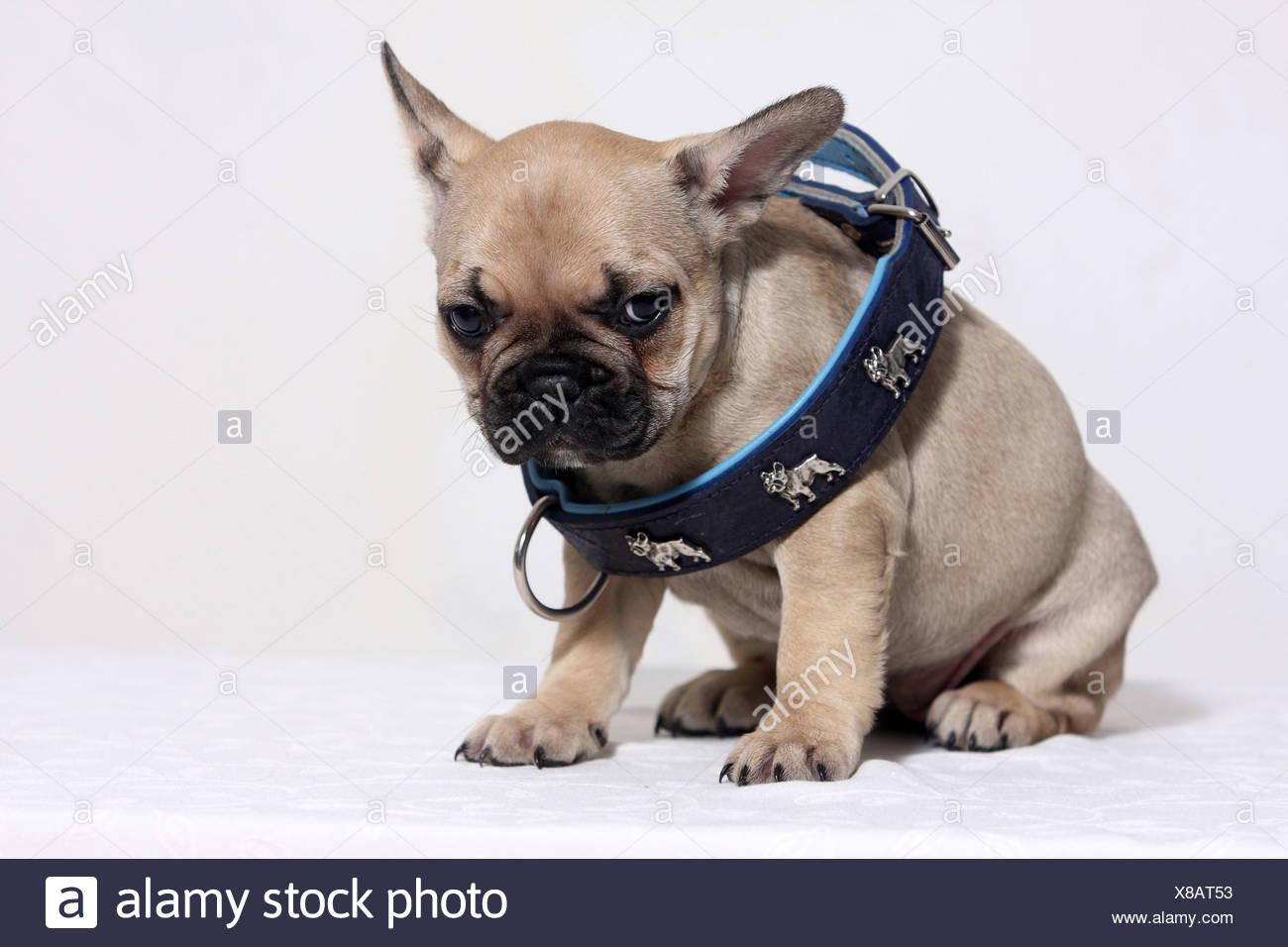 Bulldog Francés Canis Lupus Familiaris Leonado Cachorro De Gran