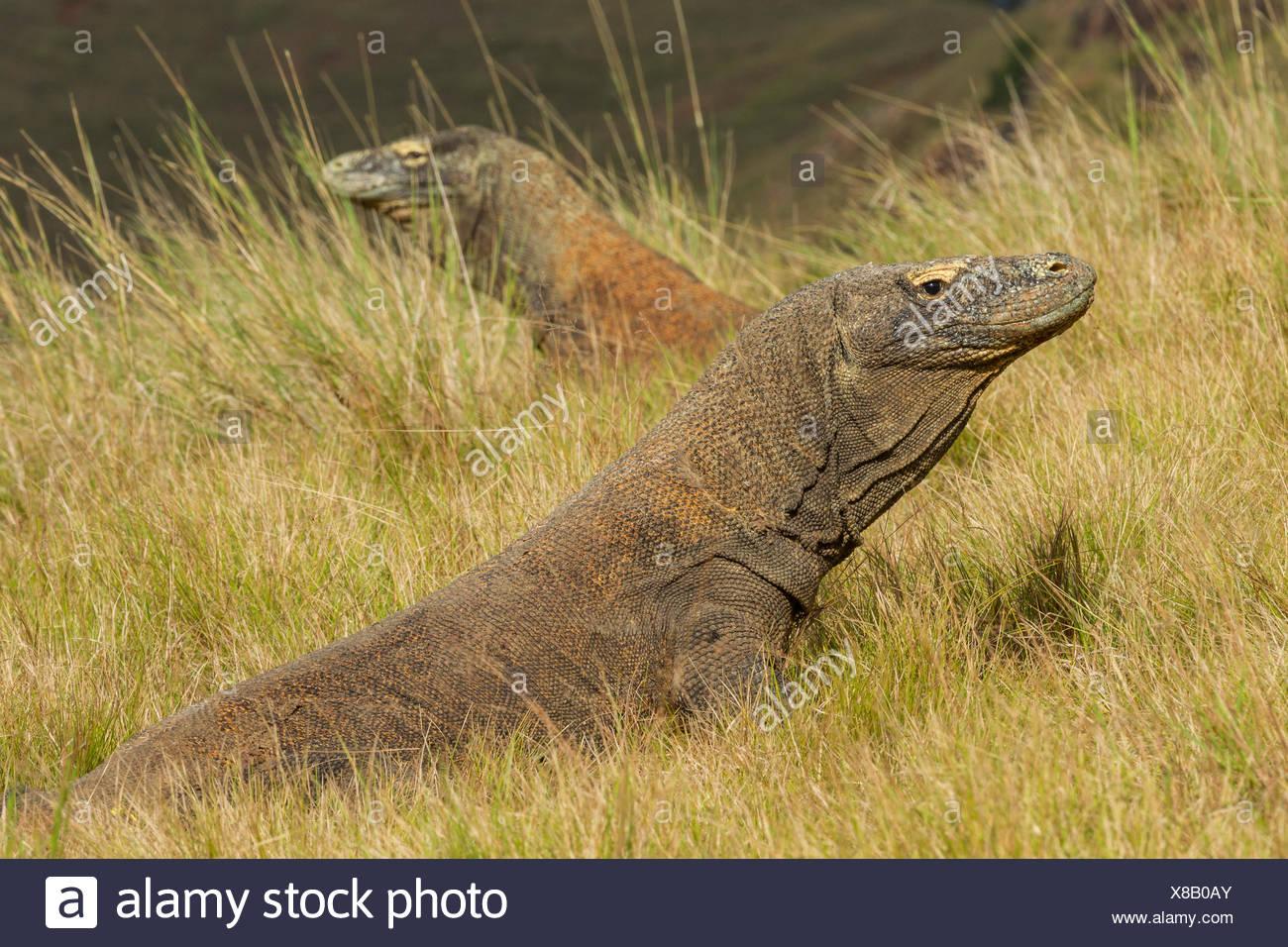 El enfrentamiento entre los dragones de Komodo, Rinca Indonesia Imagen De Stock