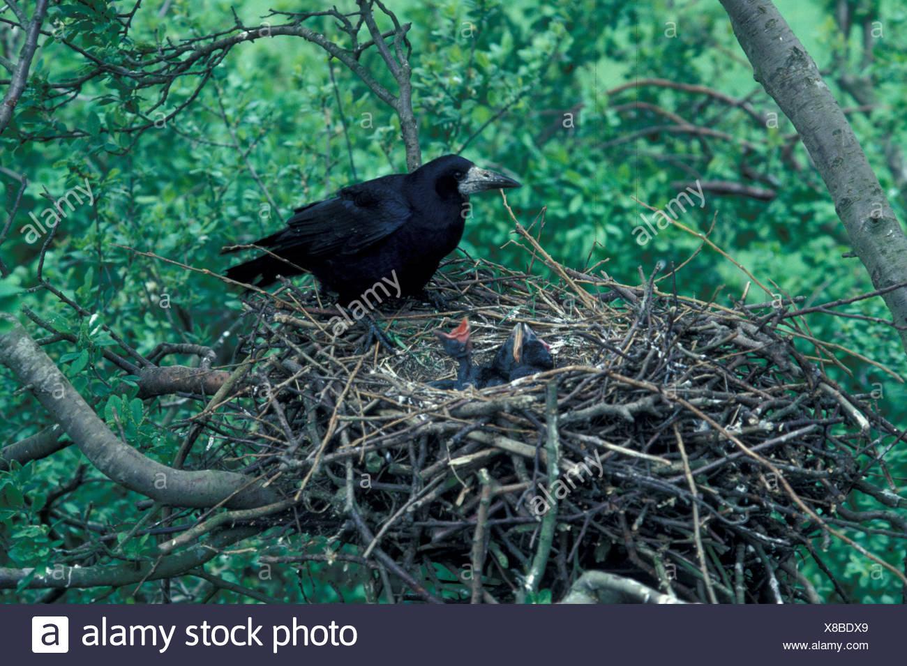 Rook Corvus frugilegus en adultos jóvenes cosecha abultado nido exigente Foto de stock