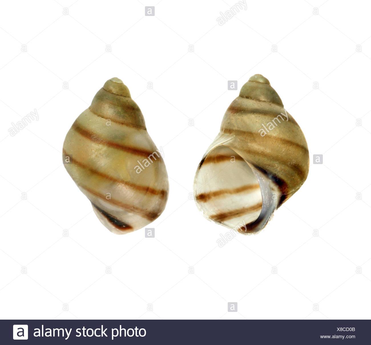 Grieta de bandas Shell - Laguna vincta Imagen De Stock