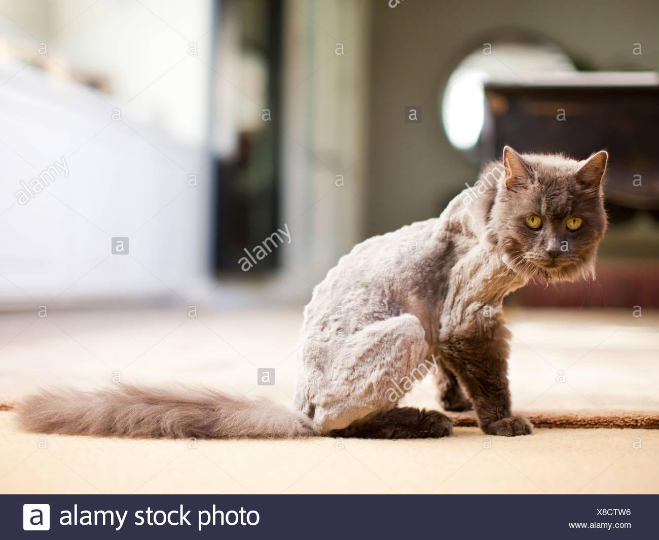 Estados Unidos, Utah, Salt Lake, parcialmente afeitadas cat mirando a la cámara Foto de stock