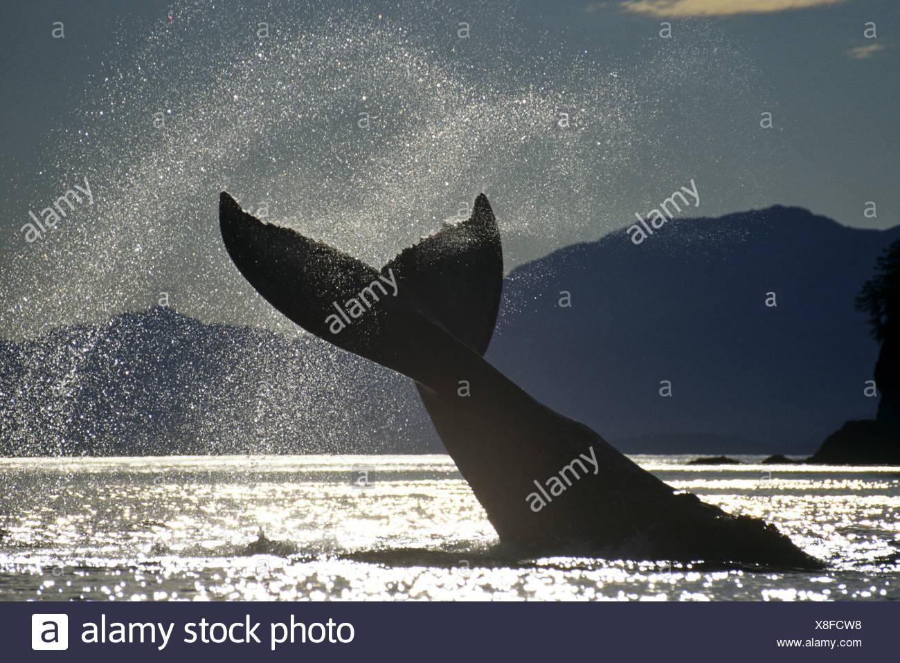 Ballena Jorobada lobtailing, hielo estrechos, sureste de Alaska Imagen De Stock