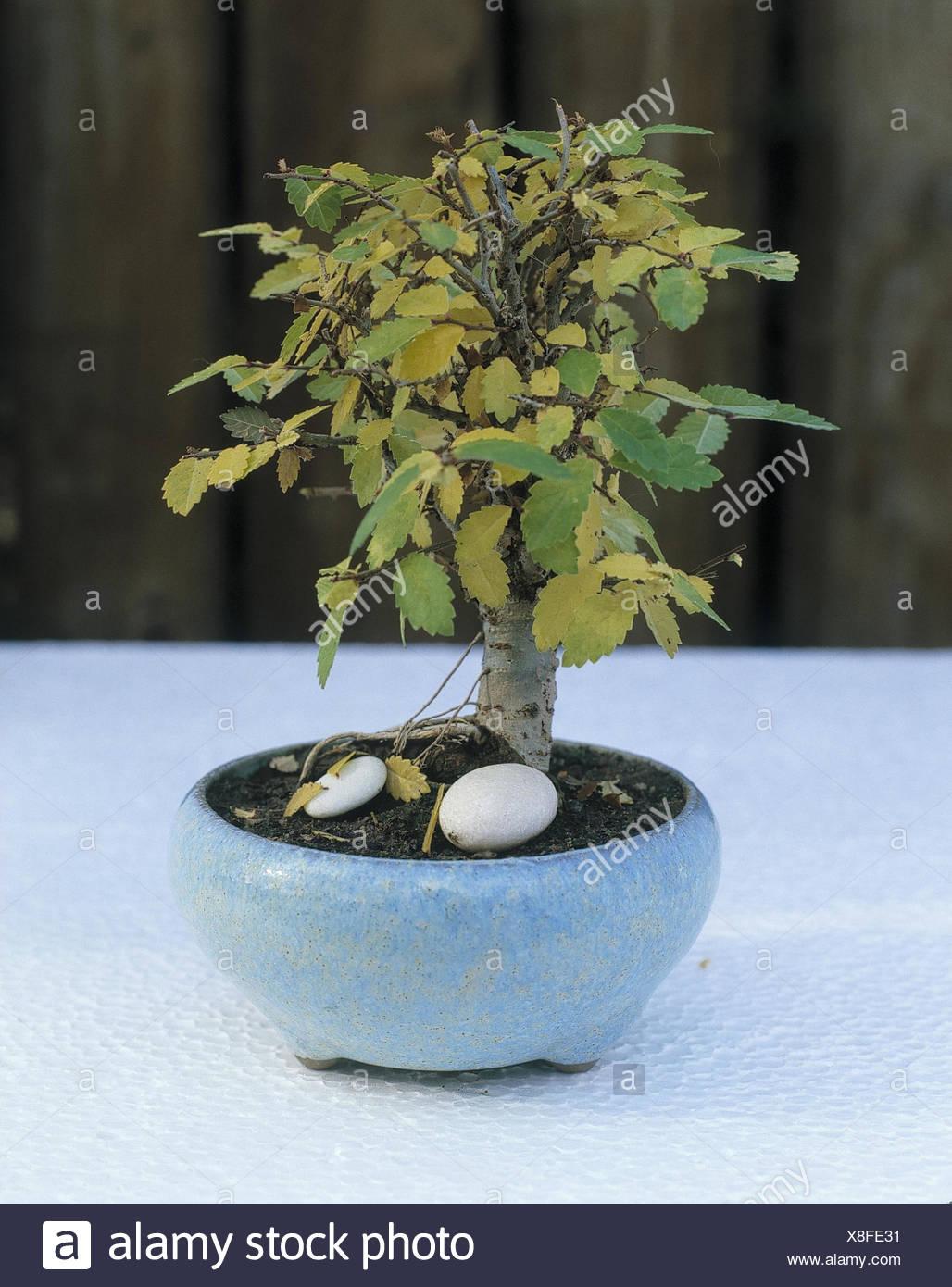 Bonsai Arboles Pequenos Olmos El Follaje De Otono Otono Follaje - Arboles-pequeos