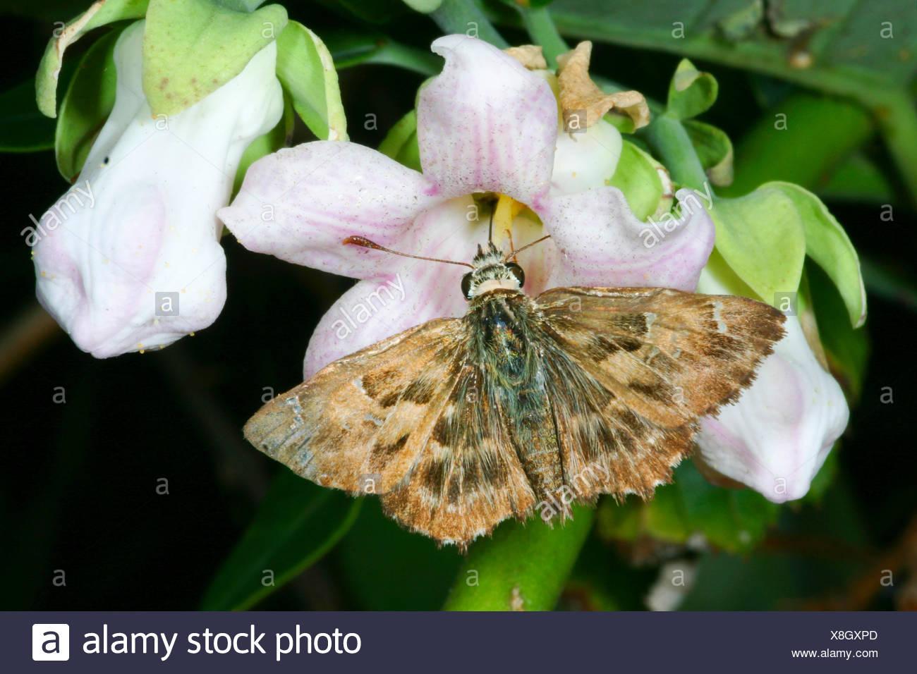 Mallow skipper (Carcharodus alceae), chupa el néctar de una flor, Alemania Foto de stock