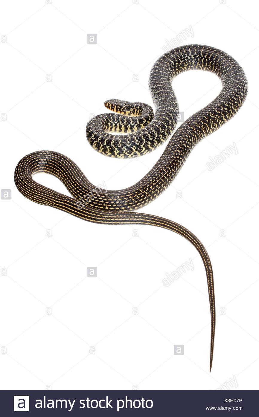 Serpiente látigo occidental fotografiado sobre un fondo blanco. Imagen De Stock