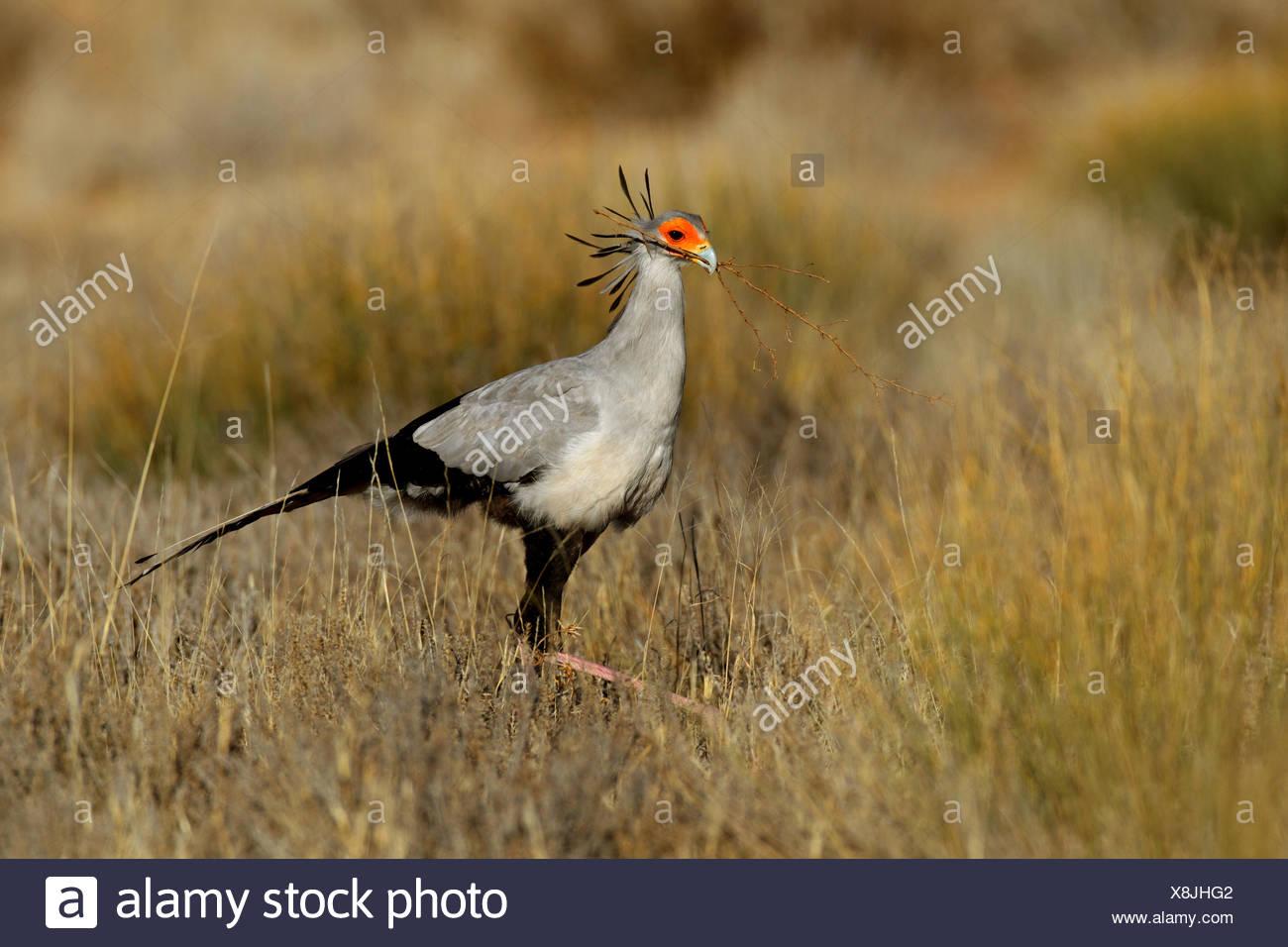 Secretario bird, Sagitario (Sagittarius serpentarius serpentarius), caminando a través de pastizales y busca material de anidación , Sudáfrica, Parque Nacional Transfronterizo Kgalagadi Imagen De Stock