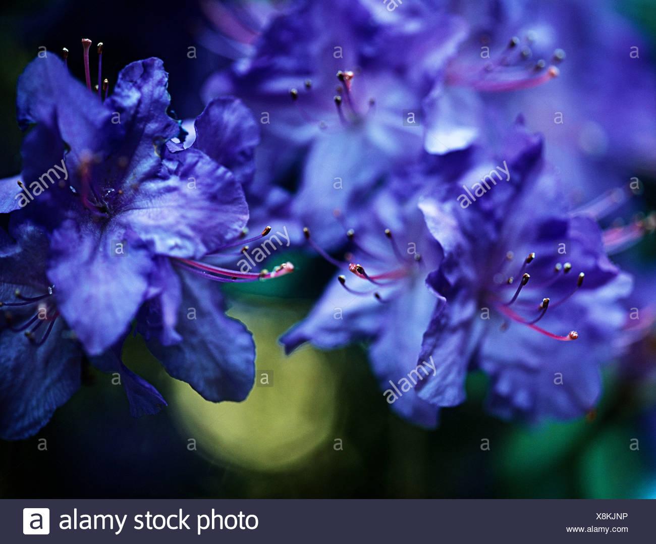 Azalea Flores Azul Fotografia De Stock Alamy