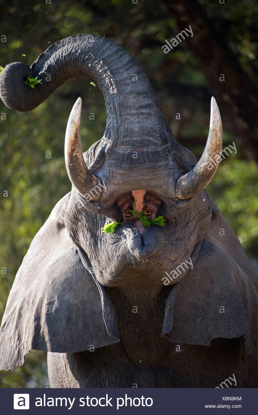 Toro adulto la alimentación del elefante africano. Los bancos del río Luangwa. El Parque Nacional Luangwa del Sur de Zambia. Imagen De Stock