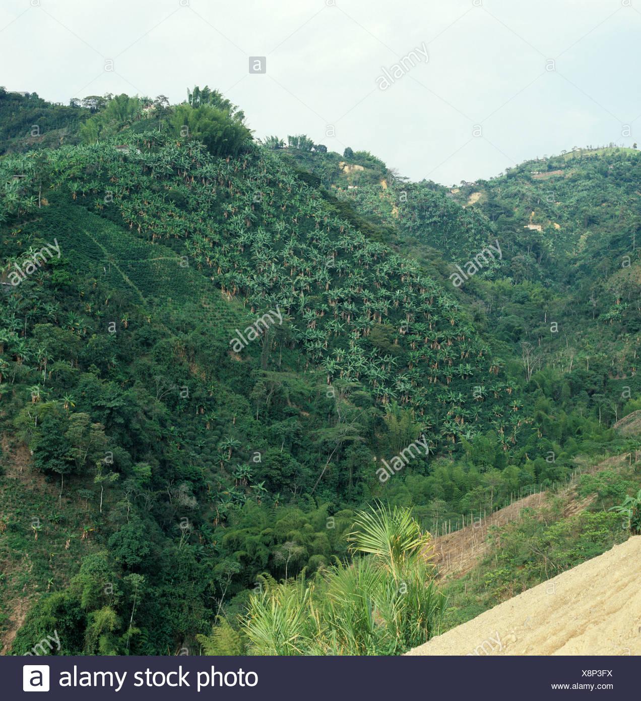 Plantaciones de café cerca de Manizales en banano y árboles de sombra de la legumbre Imagen De Stock