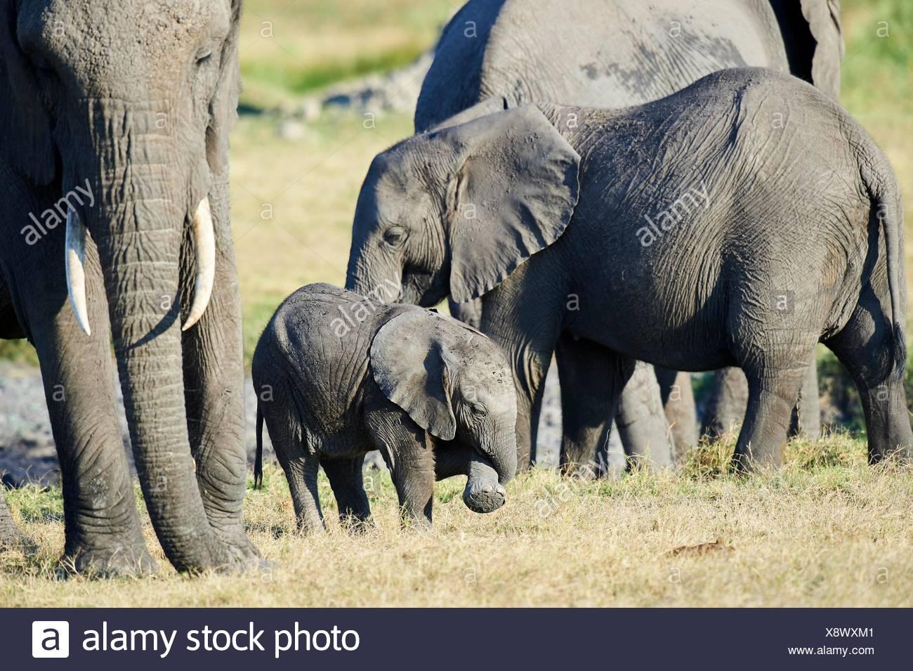 Familia de elefantes africanos con la madre y cría (Loxodonta africana), Duba Plains, el delta del Okavango, Botswana, África del Sur. Foto de stock