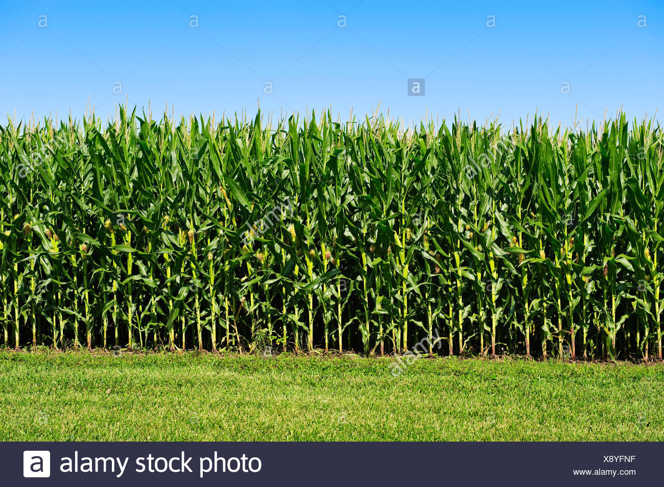 Agricultura - Sideview de un rodal de mediados de crecimiento del maíz, totalmente tasseled con orejas en desarrollo / Iowa, EE.UU. Imagen De Stock