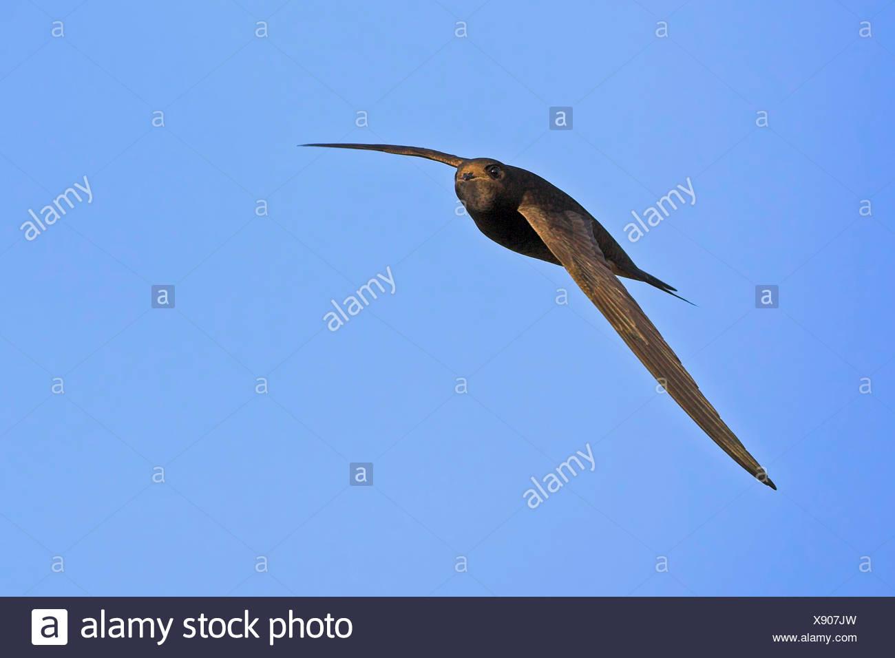 Swift euroasiático (Apus apus), en vuelo en el cielo azul , Alemania Baden-Wurtemberg Foto de stock