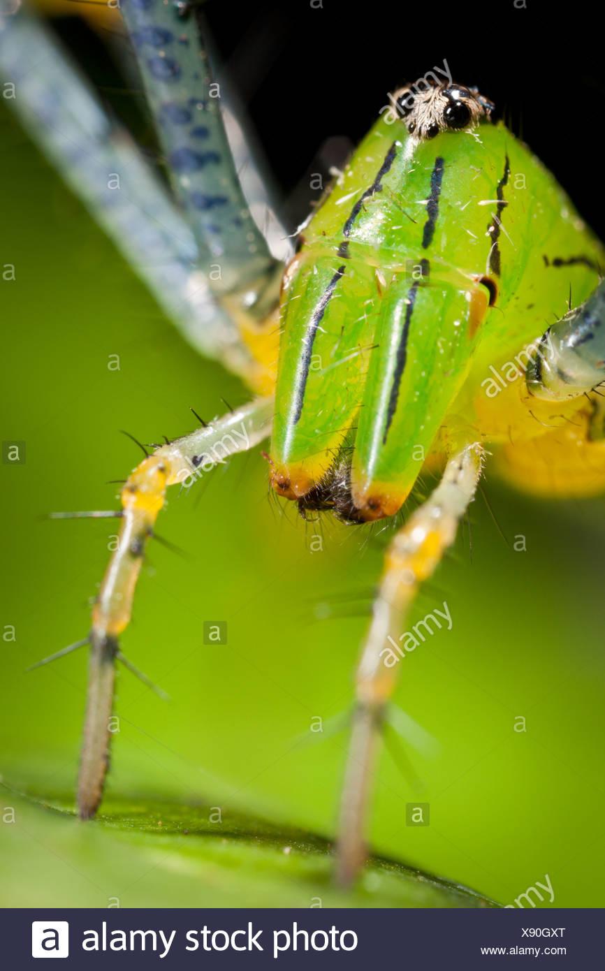 La araña lince verde malgache (Peucetia madagascariensis). Parque Nacional de la península de Masoala, al noreste de Madagascar. Foto de stock
