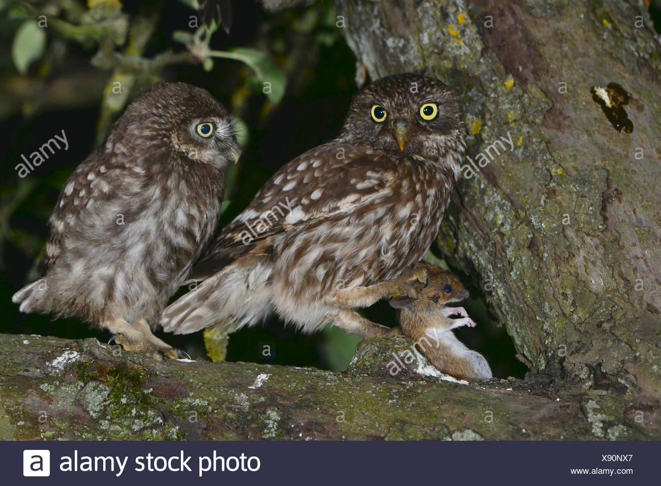 Pequeño Búho (Athene noctua) adulto (izquierda) ofrecen un ratón para la justa unfledged chick incluso en la copa de un Appletree Imagen De Stock