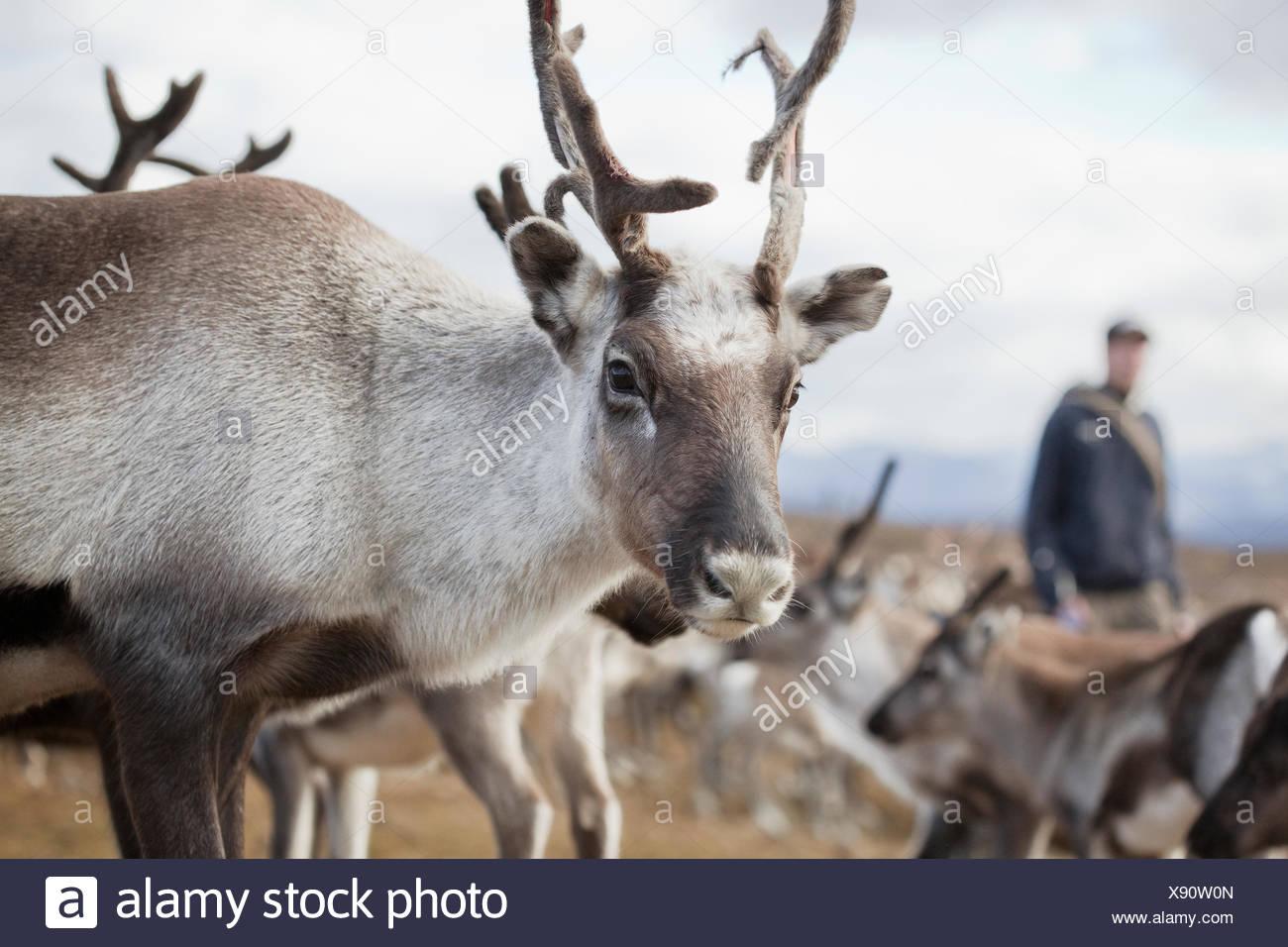 Suecia, Laponia, levas, Renos (Rangifer tarandus) mirando a la cámara Imagen De Stock