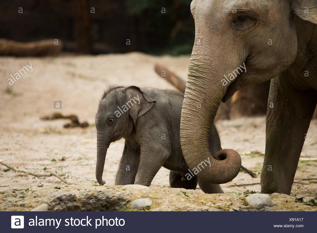 Los animales, los elefantes, los jóvenes, el elefante, el Zoológico de Zurich, animales, el cantón de Zurich, zoológico, Suiza, Europa, Imagen De Stock