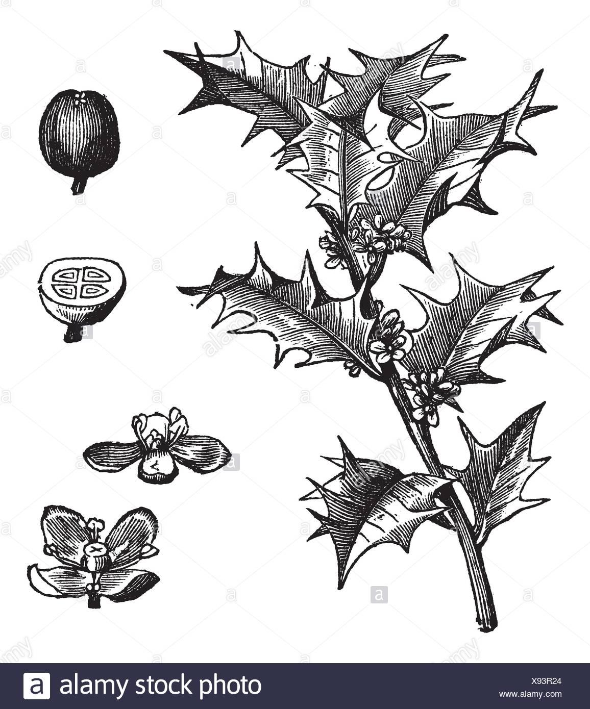 Drawing Holly Imágenes De Stock & Drawing Holly Fotos De Stock - Alamy