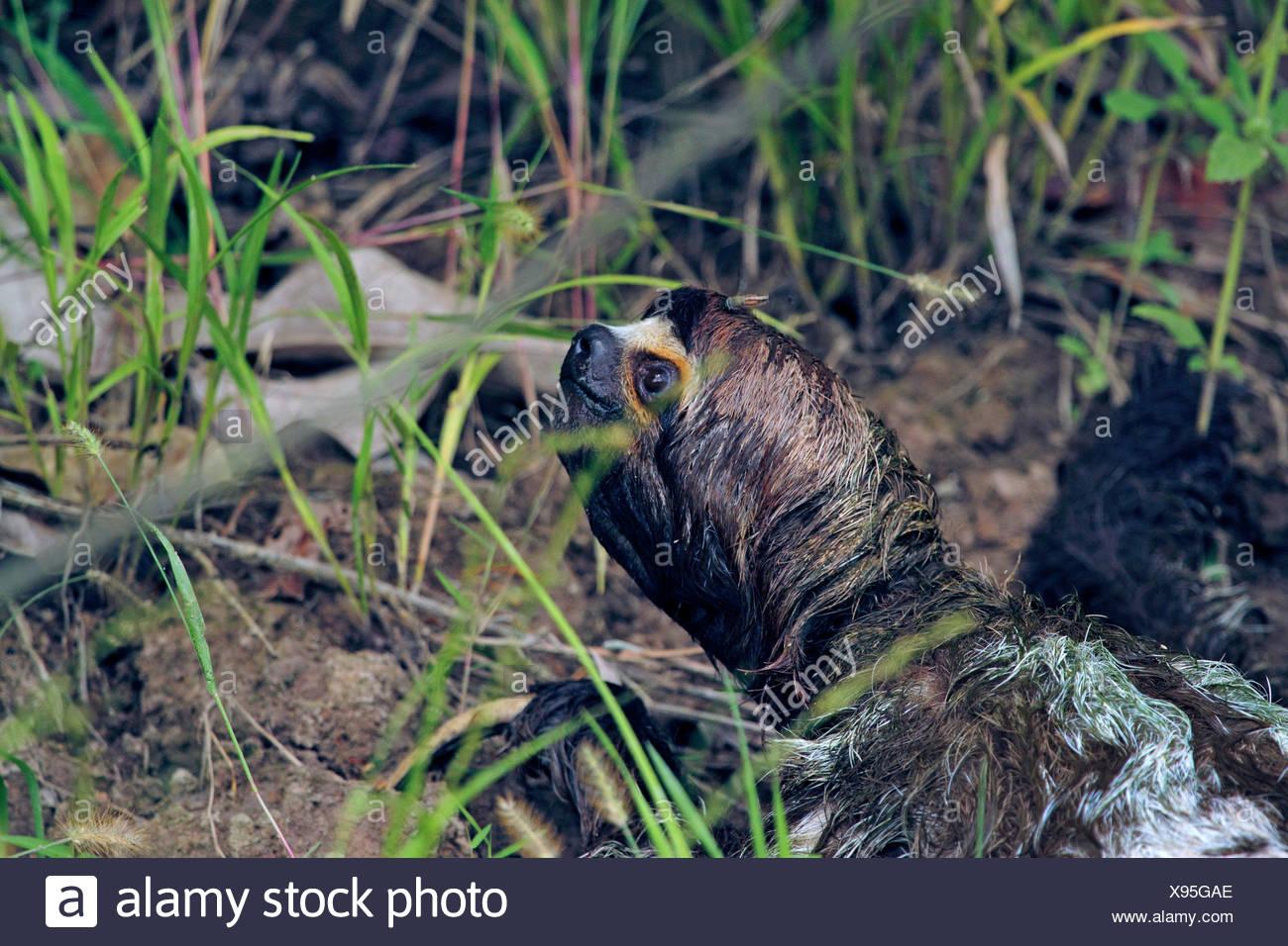 Brown-throated perezoso (Bradypus variegatus), cabeza mojada de una pereza después de bañarse en el río, Perú, Loreto, Río Yanayacu Foto de stock