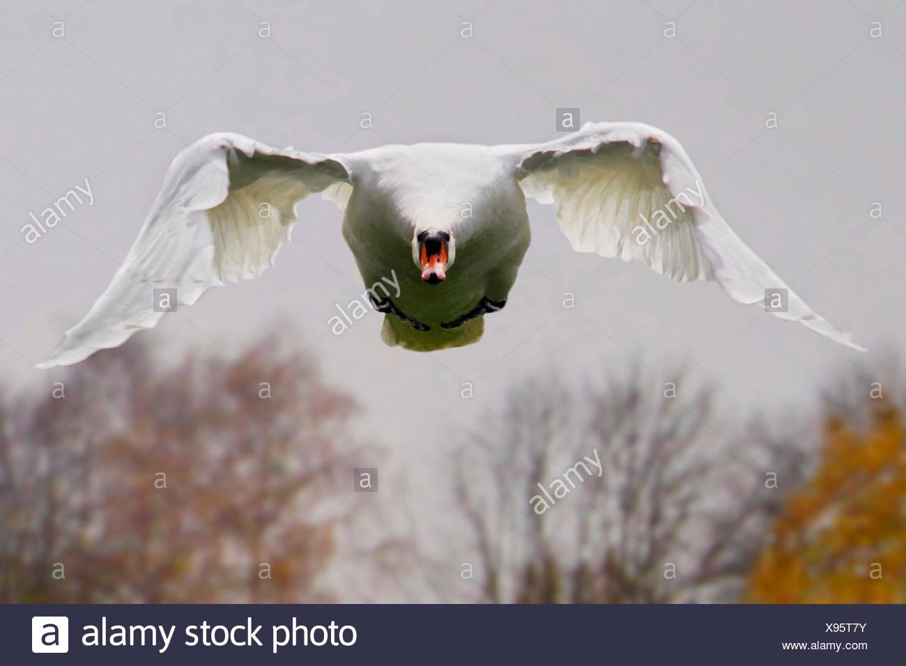 Cisne (Cygnus olor), en vuelo vista delantera, Alemania Imagen De Stock