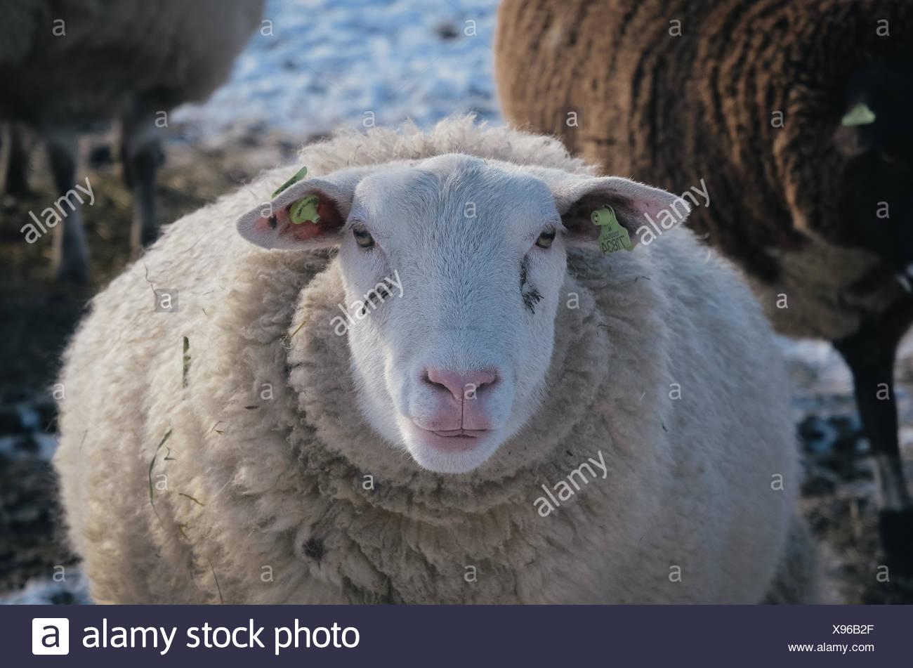 Retrato de una oveja. Imagen De Stock