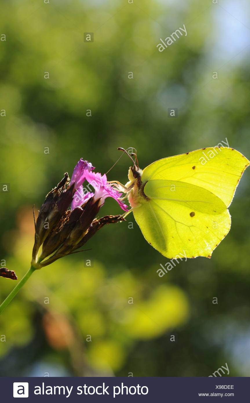 Brimstone (Gonepteryx rhamni), chupando el néctar de la cartuja rosa, Alemania, Baviera Foto de stock