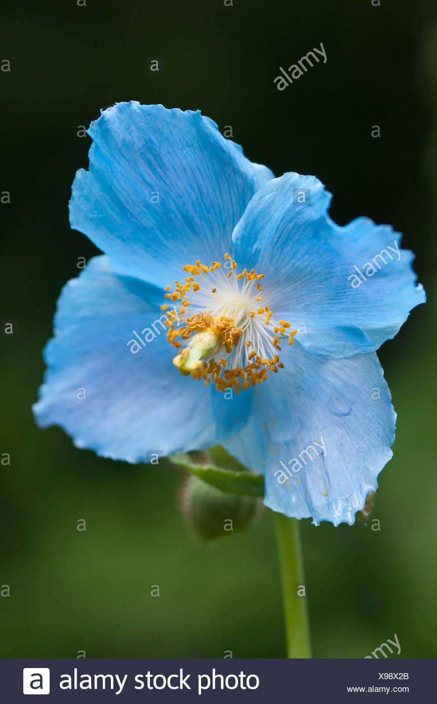 Meconopsis betonicifolia, Flor de Amapola azul del Himalaya contra un fondo verde. Foto de stock