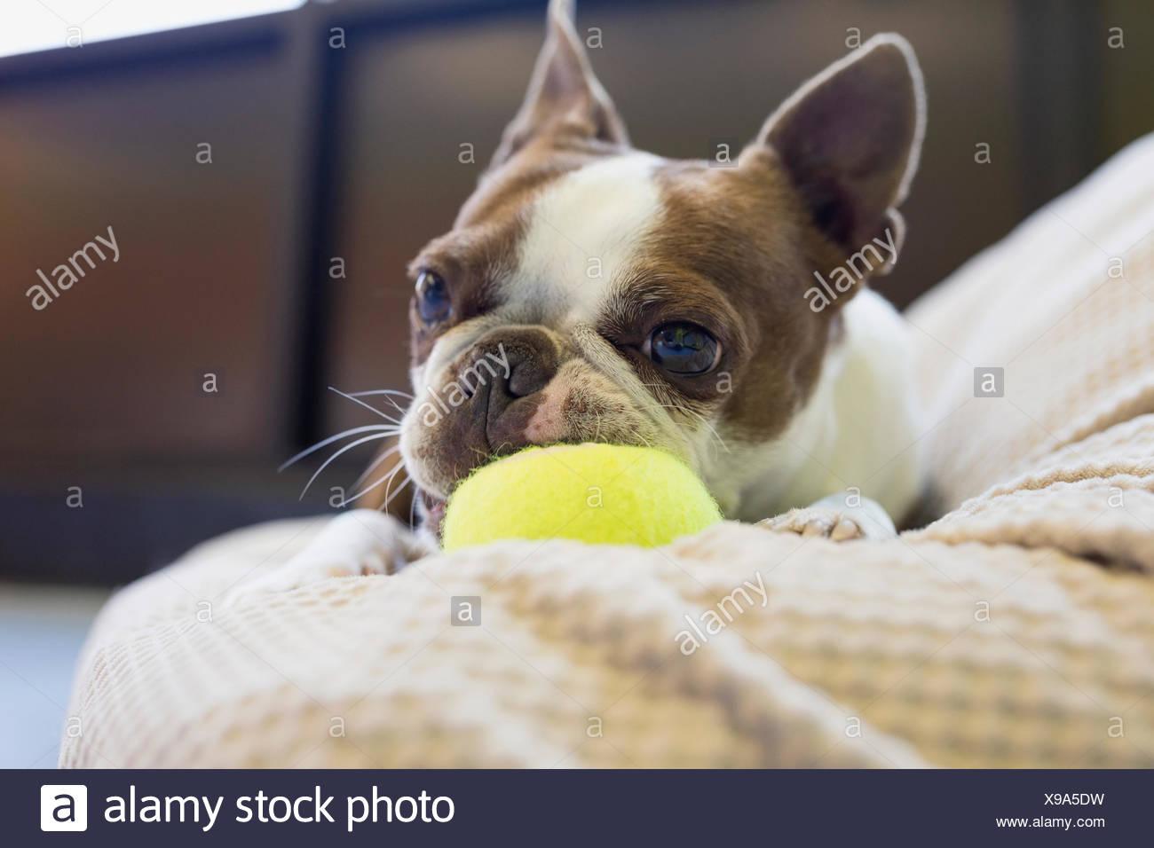 Boston Terrier masticar pelota de tenis Imagen De Stock