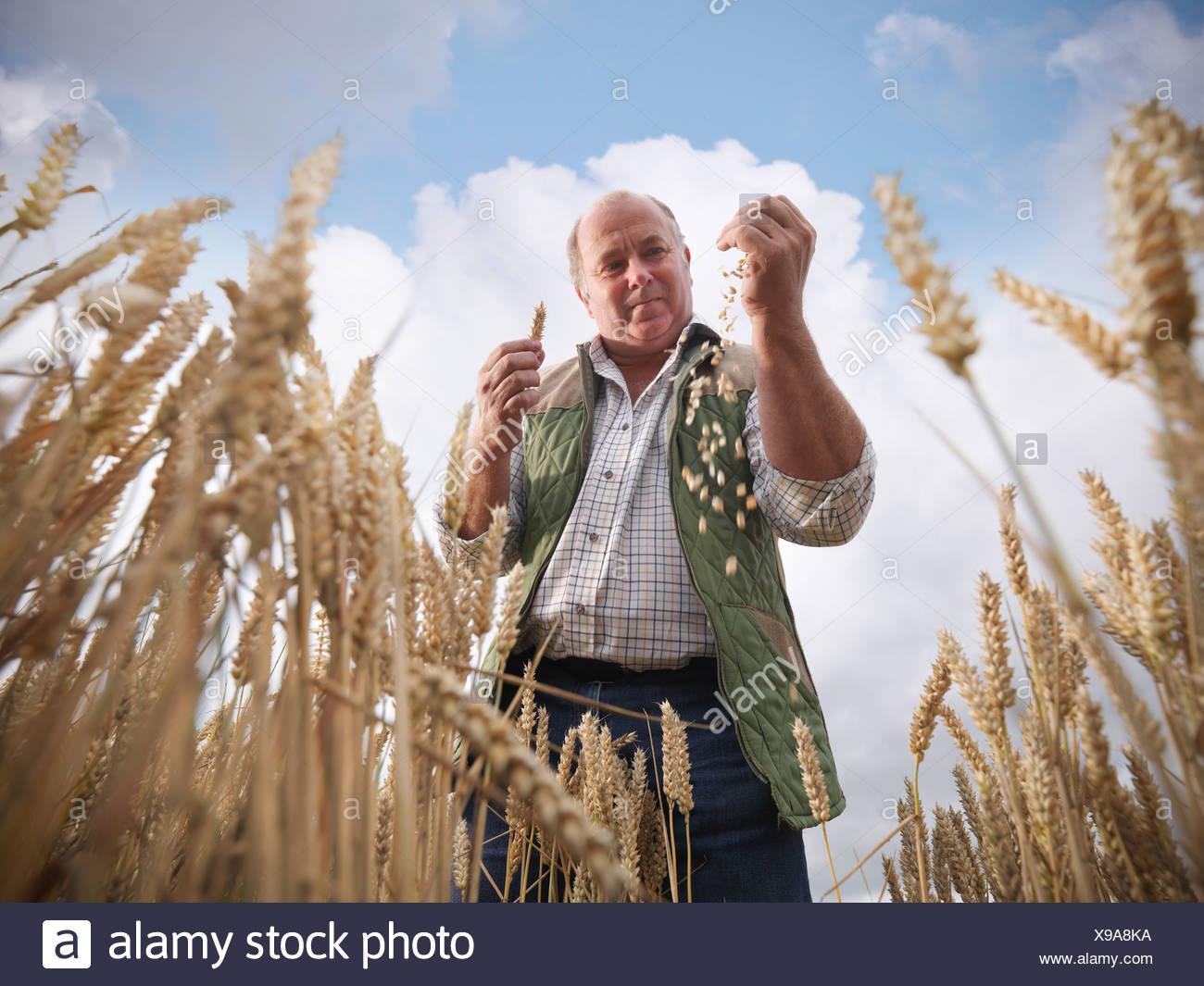 Agricultor examinar grano de trigo en el campo Imagen De Stock