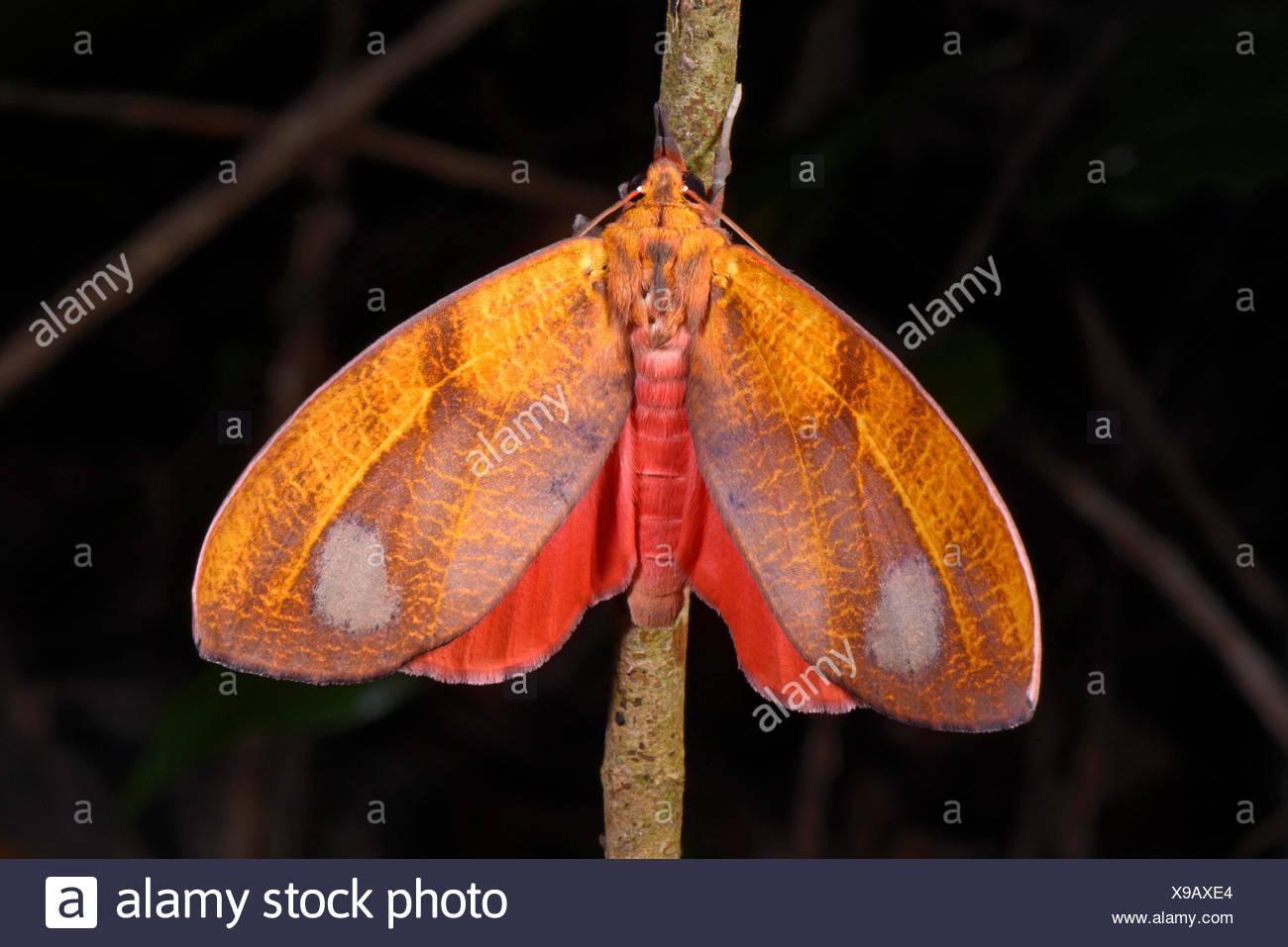Mariposas tropicales en Madagascar, MADAGASCAR Nosy Be, Lokobe Reserva Foto de stock