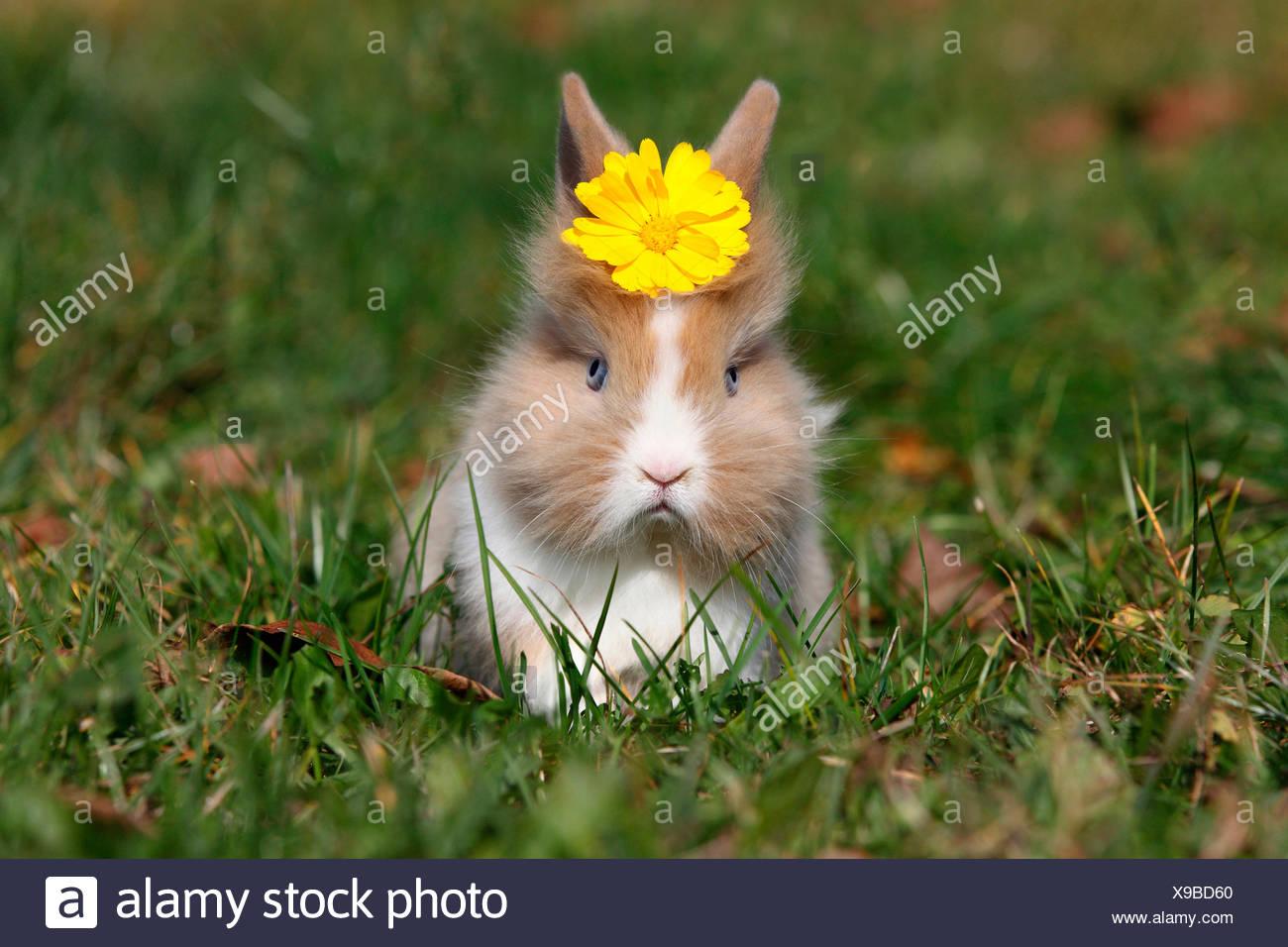 Conejo enano con cabeza de león. Jóvenes sentados sobre una pradera, vistiendo una flor amarilla sobre su cabeza. Alemania Foto de stock